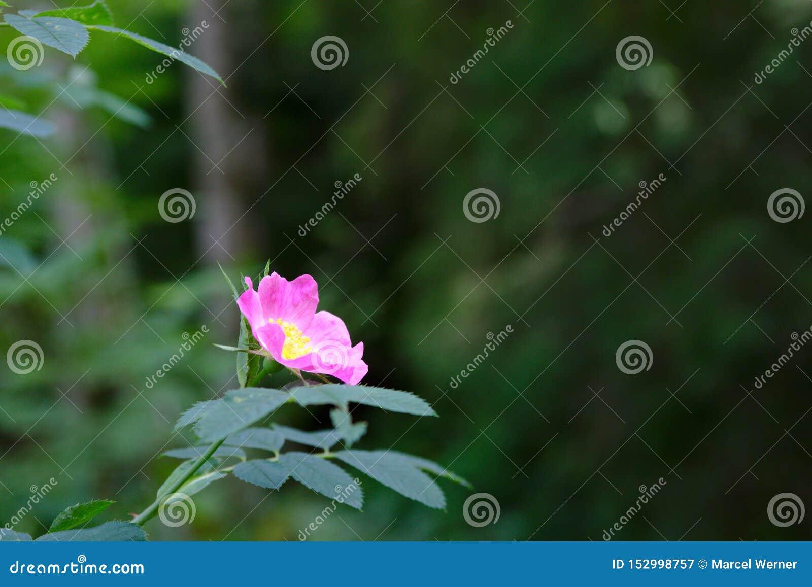 在德国的黑人福雷斯特的狂放的桃红色花