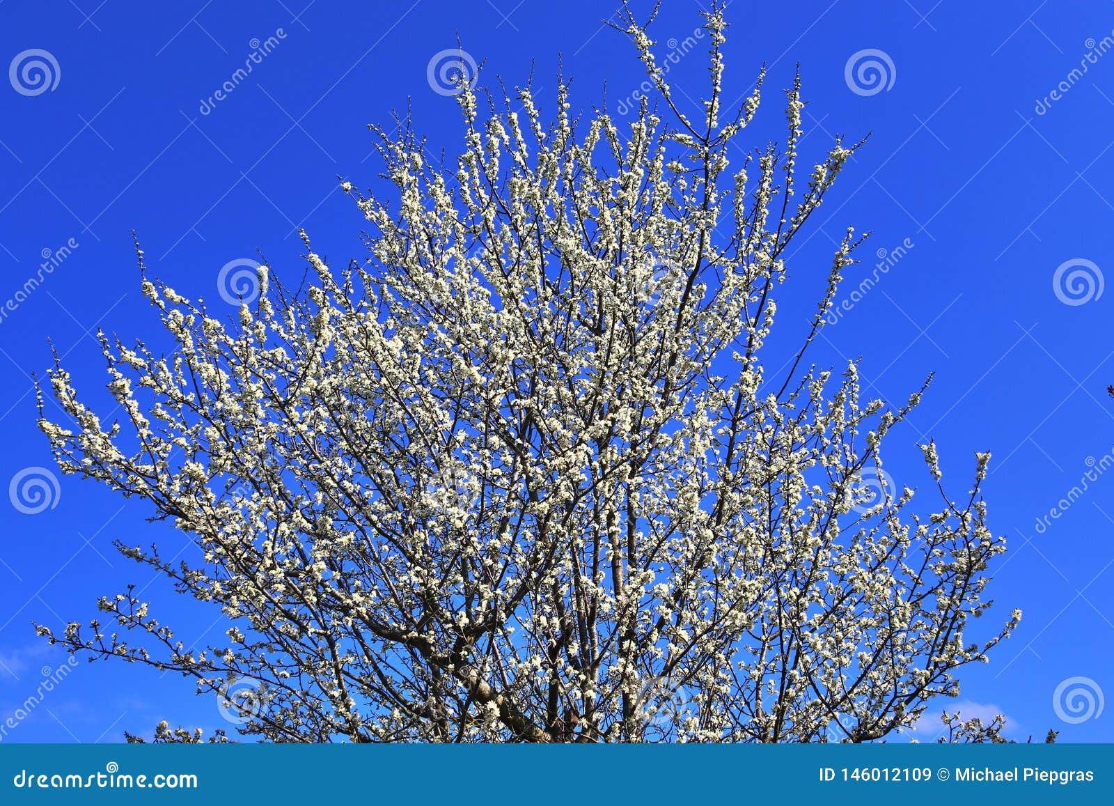 在德国看见的天空蔚蓝前面的美丽的红色黄色和白色开花的树