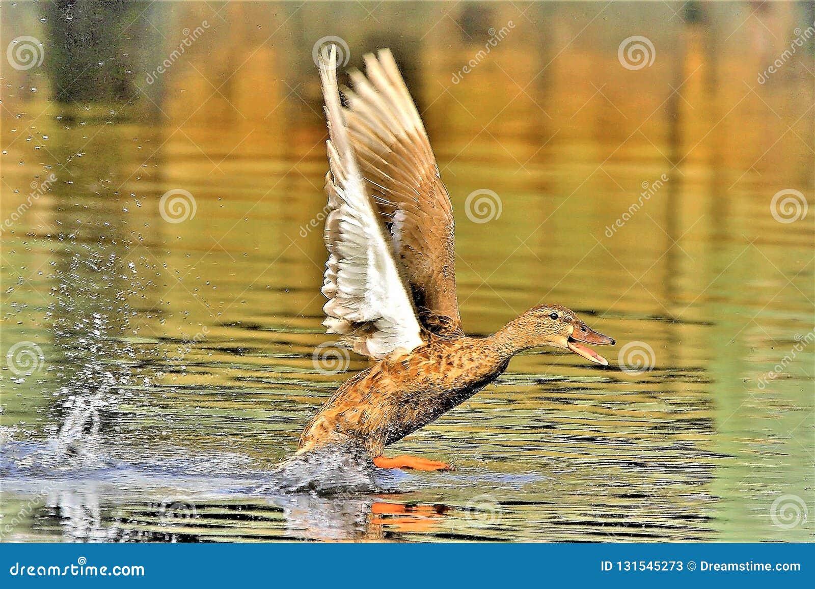 在愤怒的野鸭