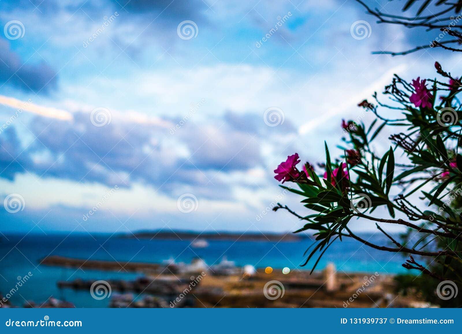 在戈佐岛海岛上的花