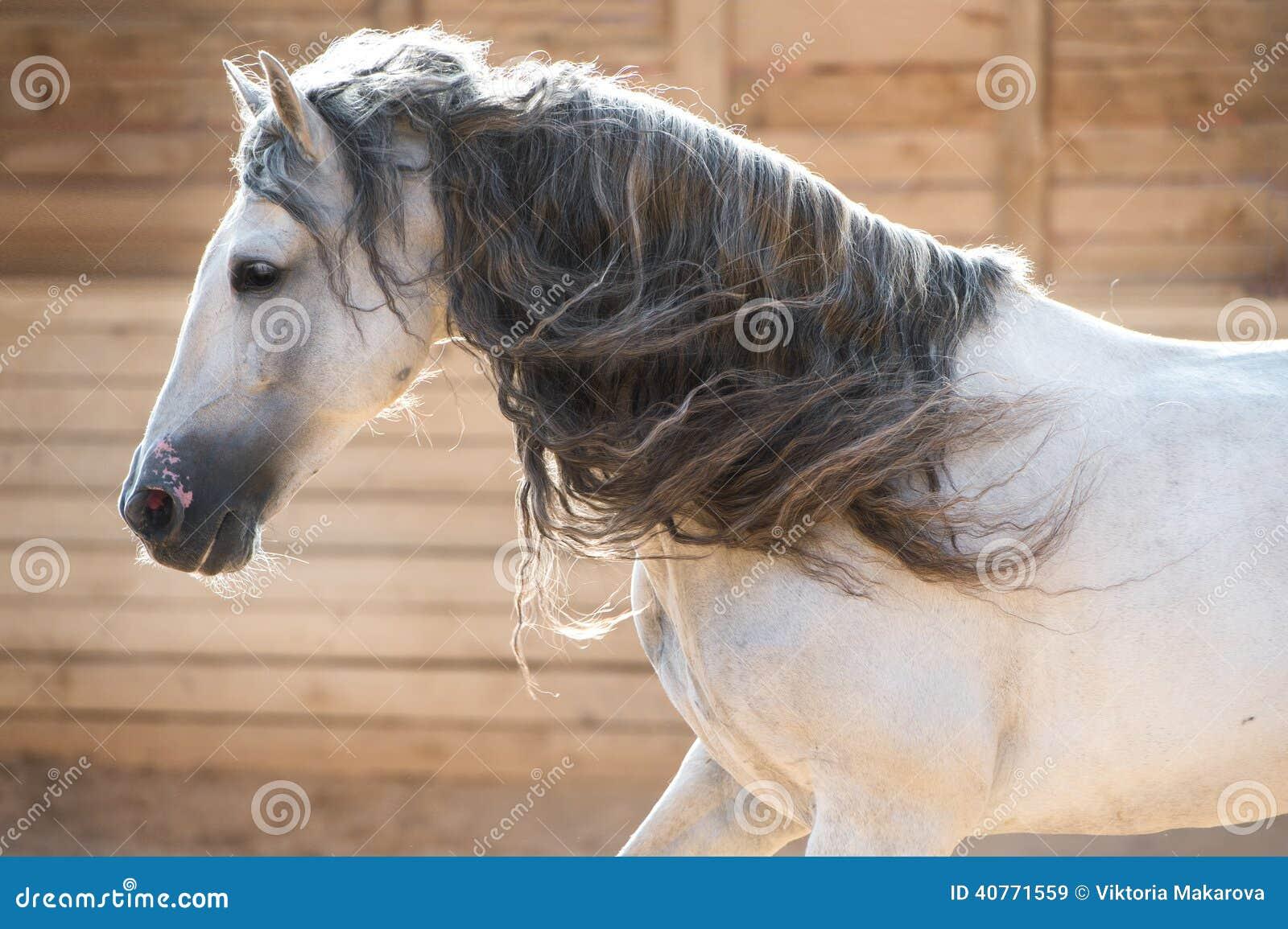 在户内行动的安达卢西亚的白马画象
