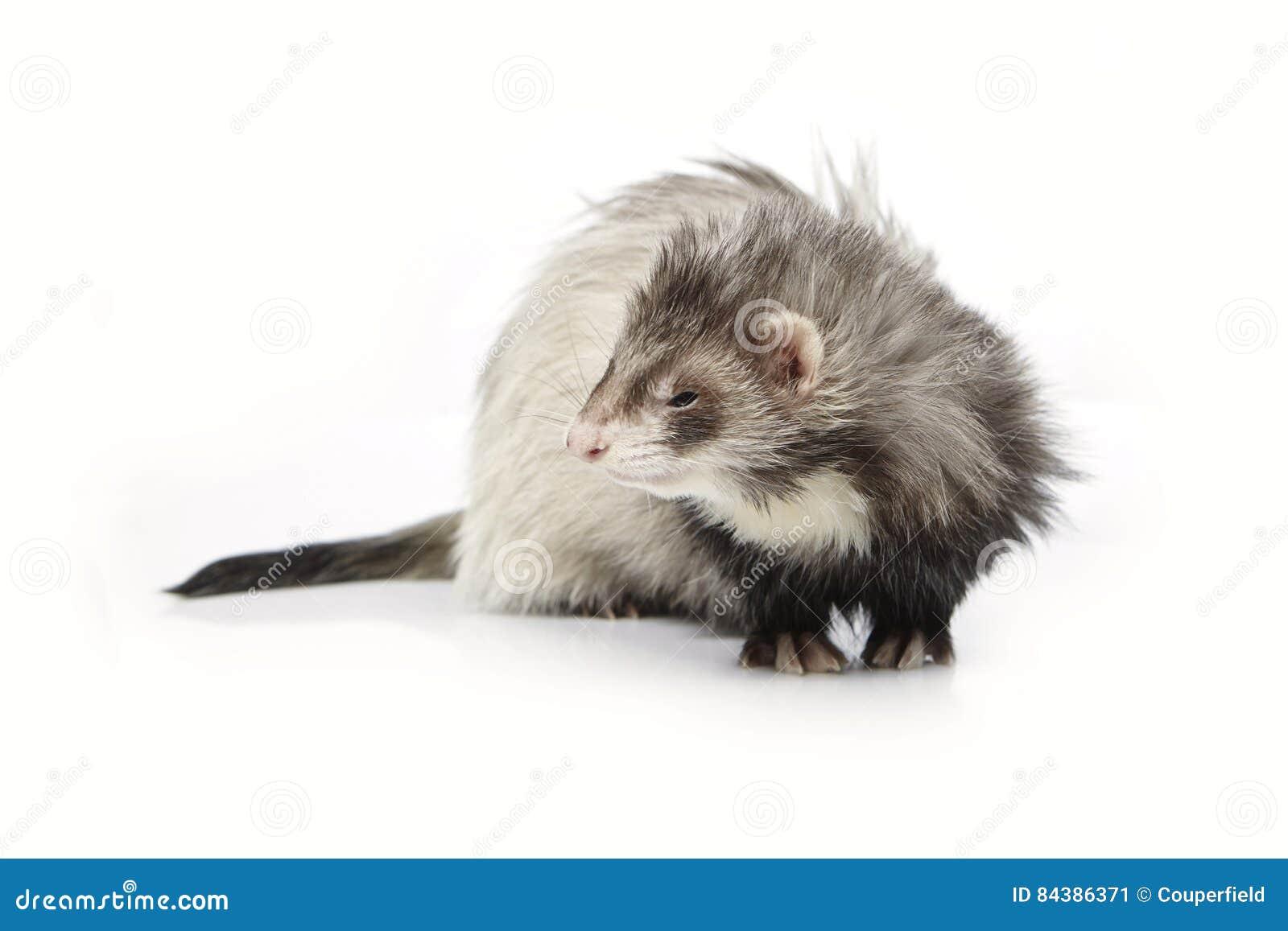 在摆在为画象的白色背景的银色安哥拉猫白鼬在演播室