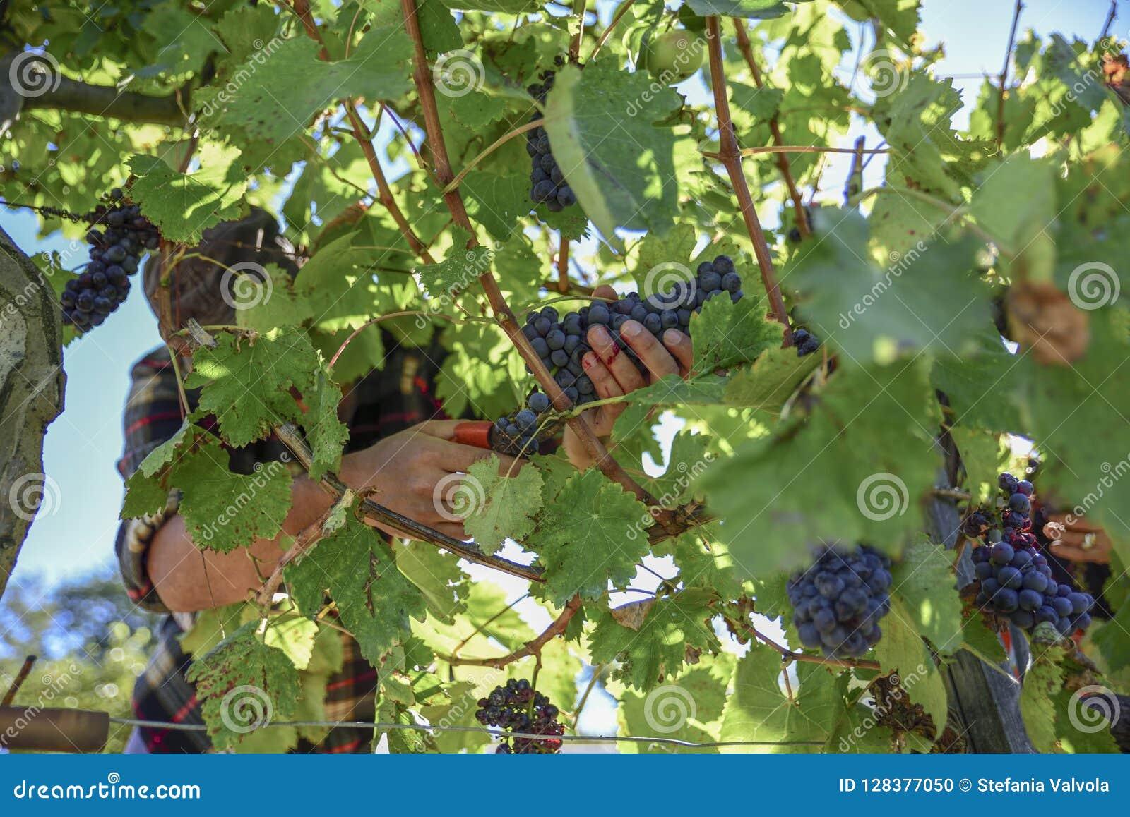 在收获期间的年轻农夫人在意大利在一晴朗的秋天天