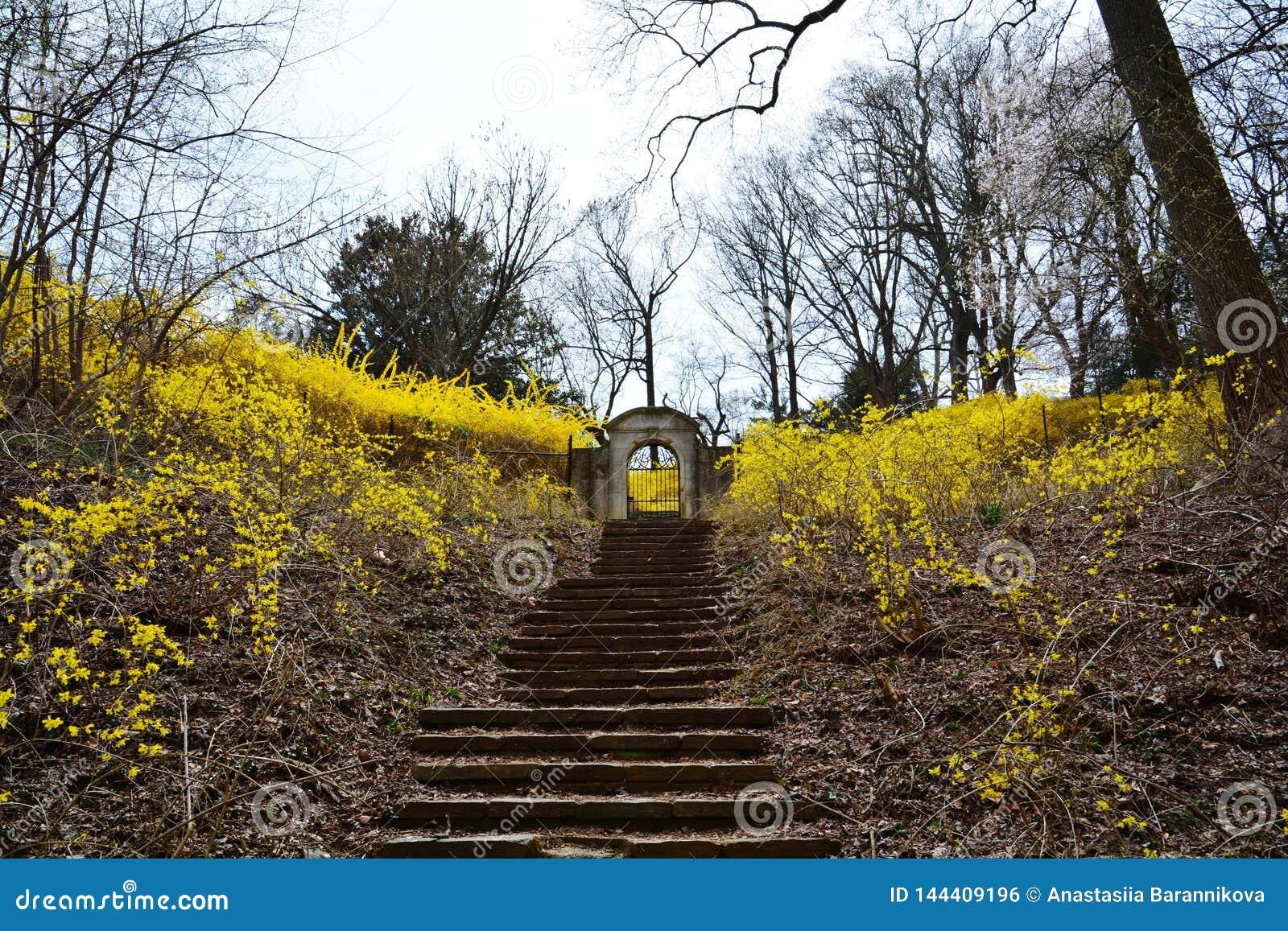 在敦巴顿橡树园橡木的开花