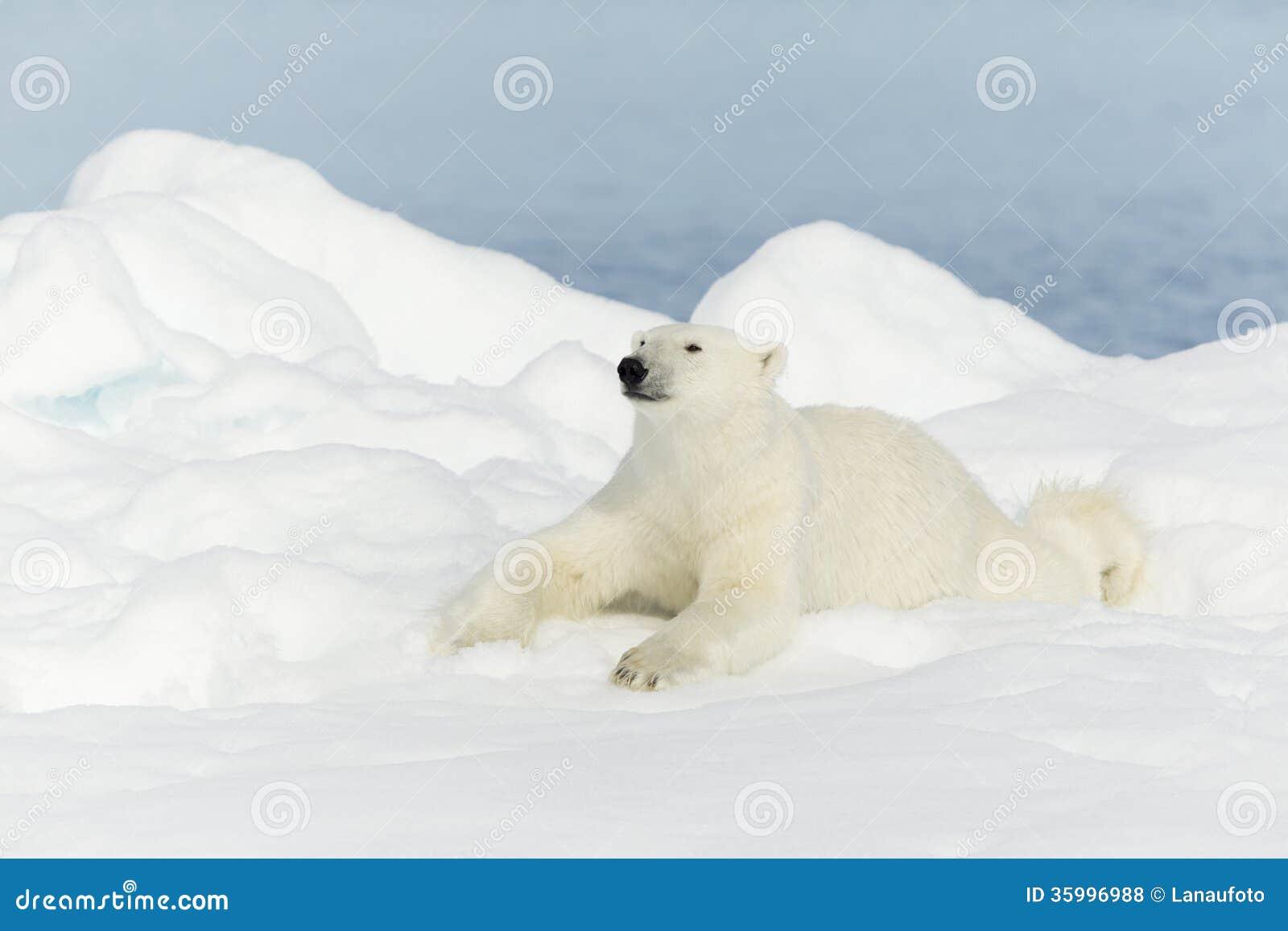 在斯瓦尔巴特群岛的北极熊