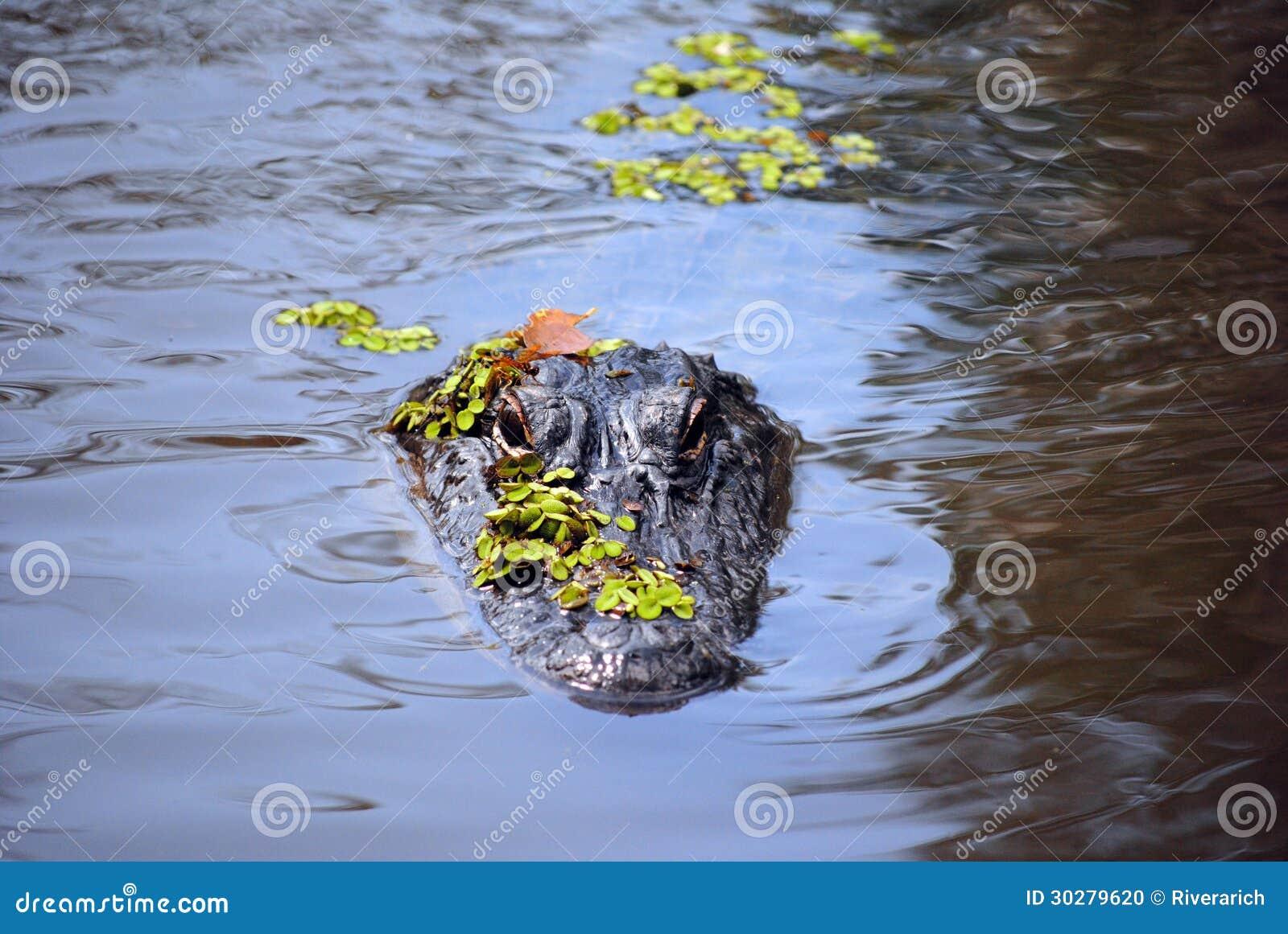 在沼泽的Aligator
