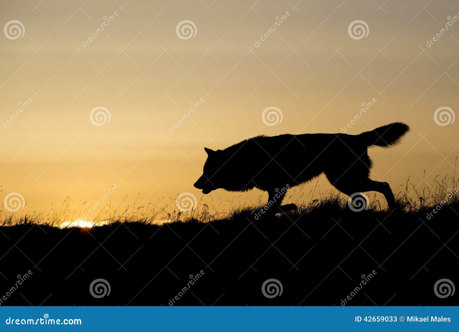 在日出的现出轮廓的狼狩猎