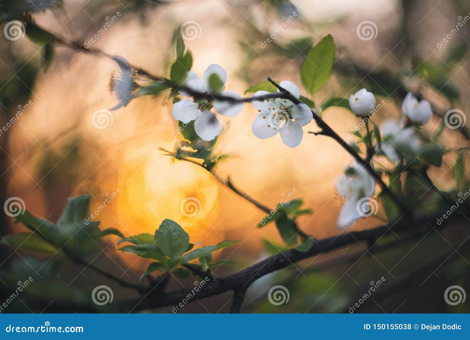 在日落的春天绽放