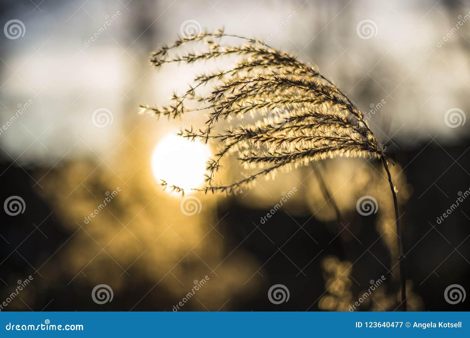 在日落的由后面照的芦苇