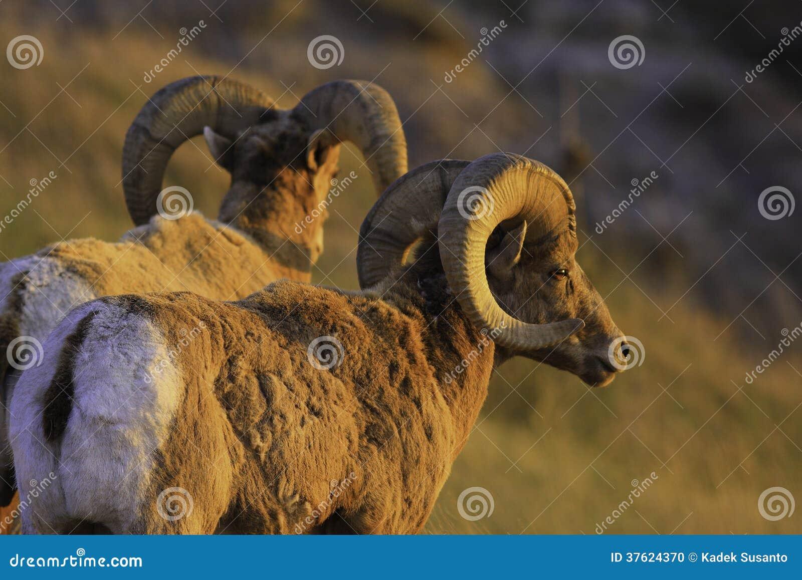 在日落的石山羊