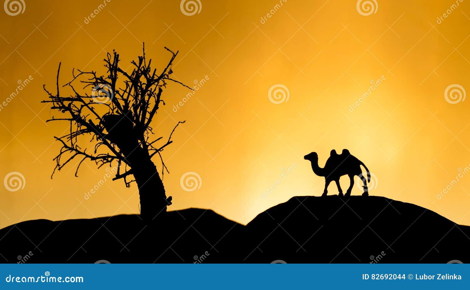 在日落的骆驼阴影