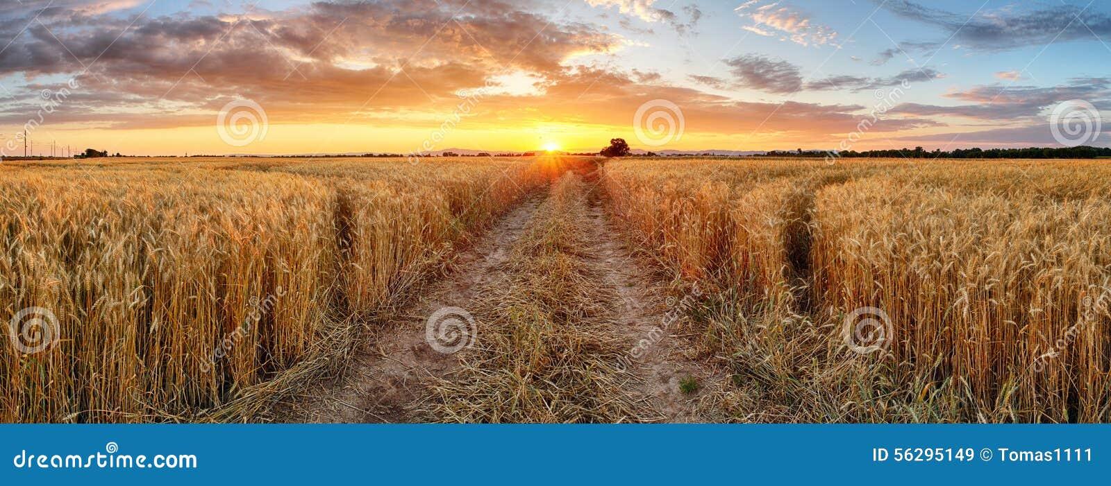 在日落,全景的麦田