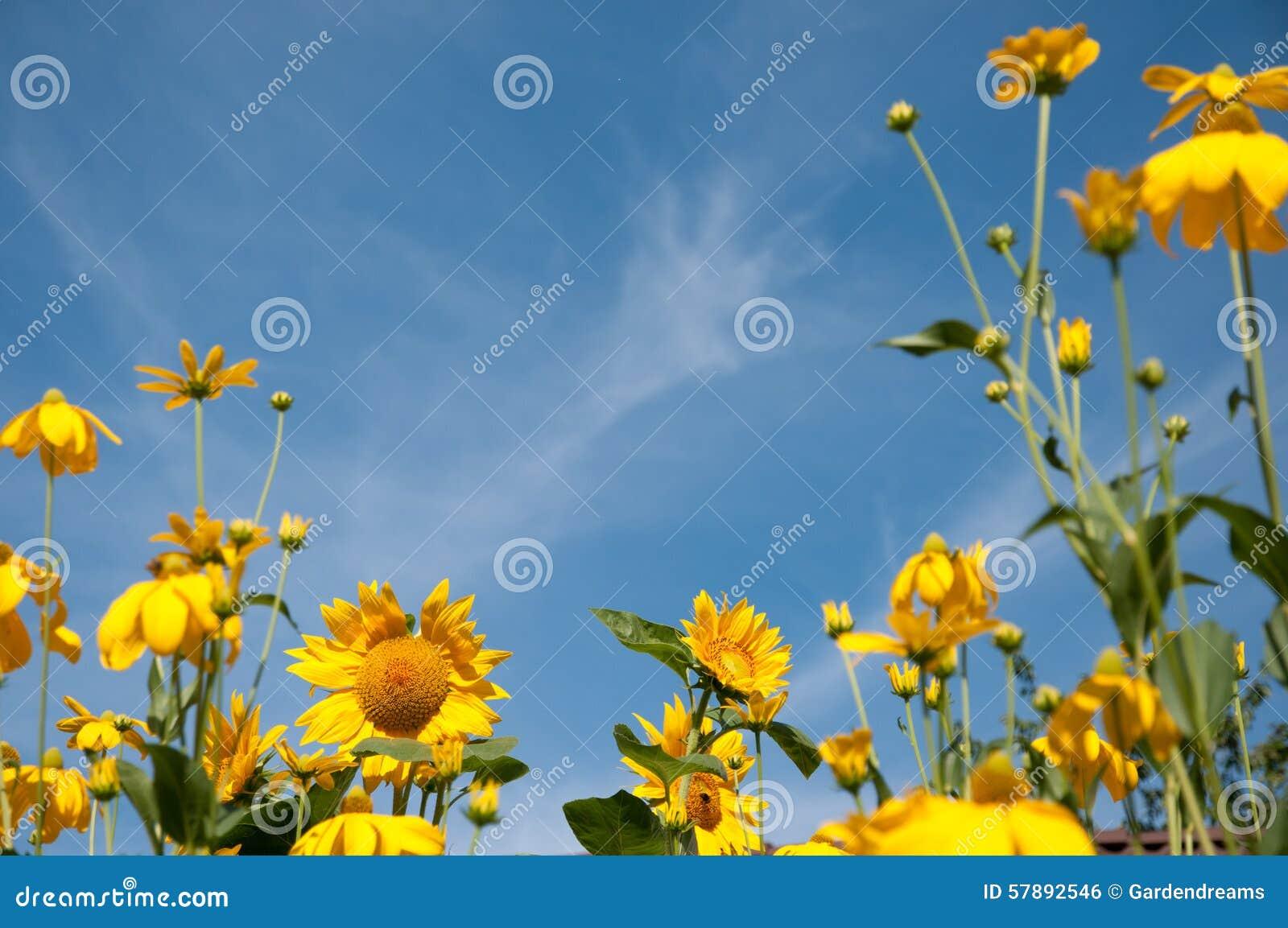 在早晨太阳的向日葵