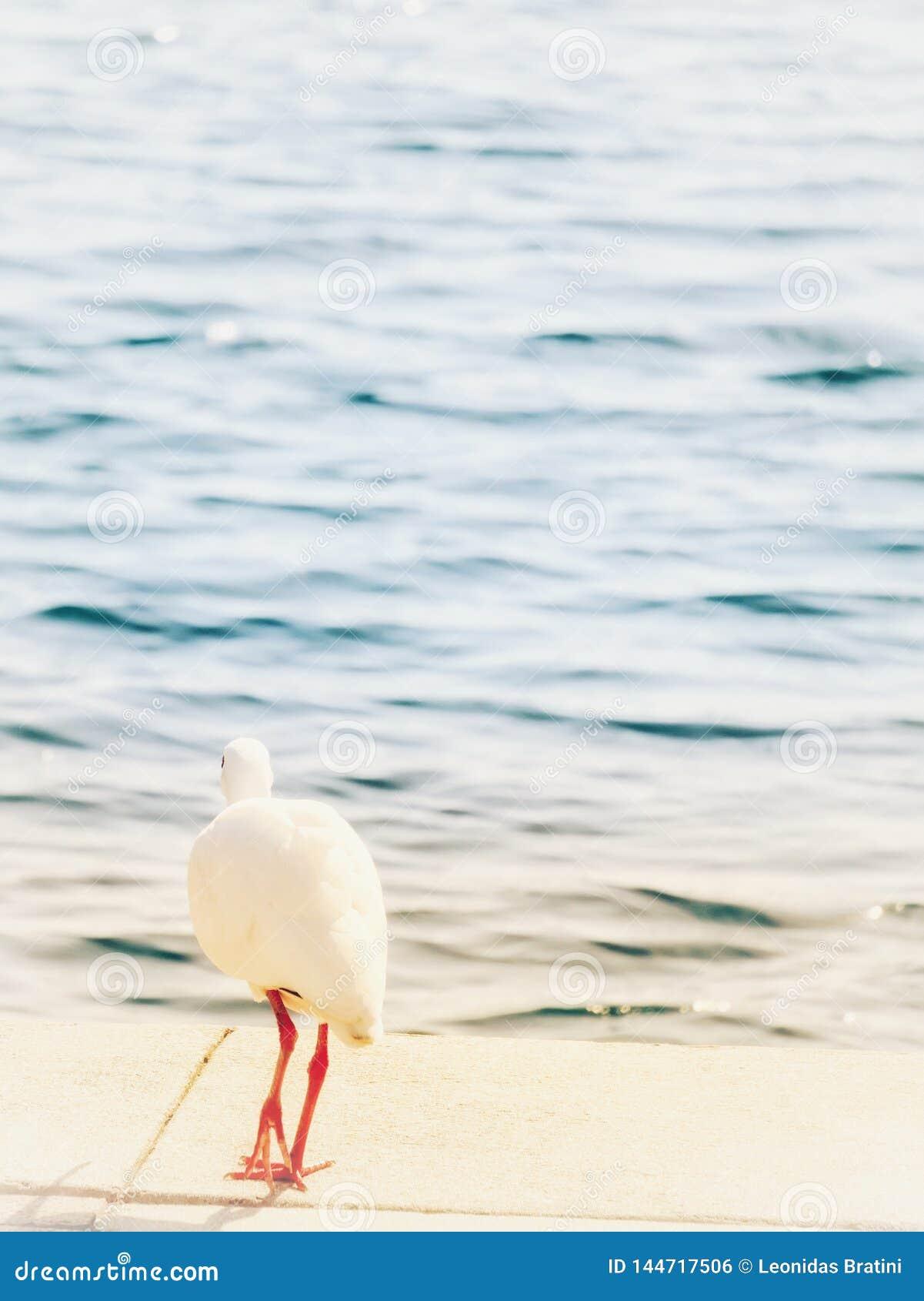 在早晨步行的白色朱鹭