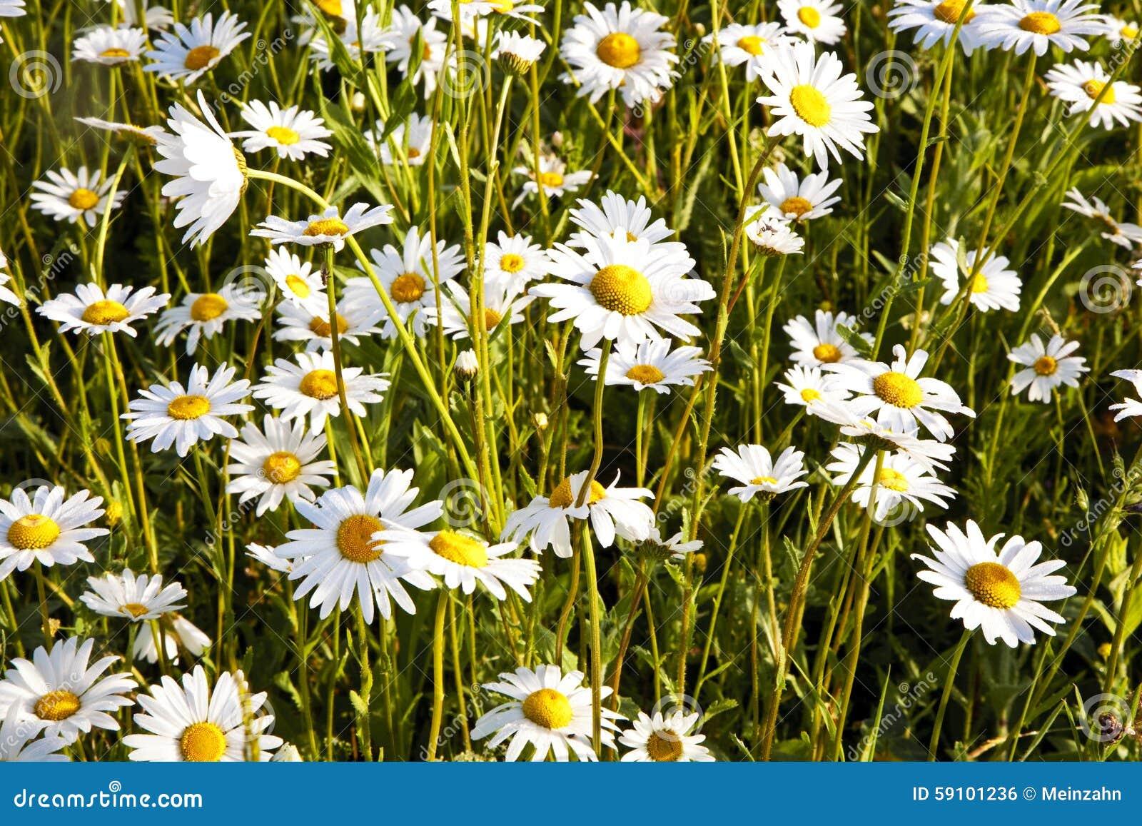 在早晨lig的美丽的雏菊