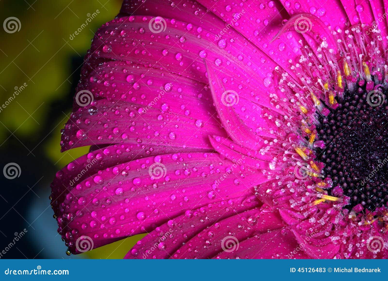 在春天的新鲜的湿大丁草花特写镜头 伟大作为背景或贺卡