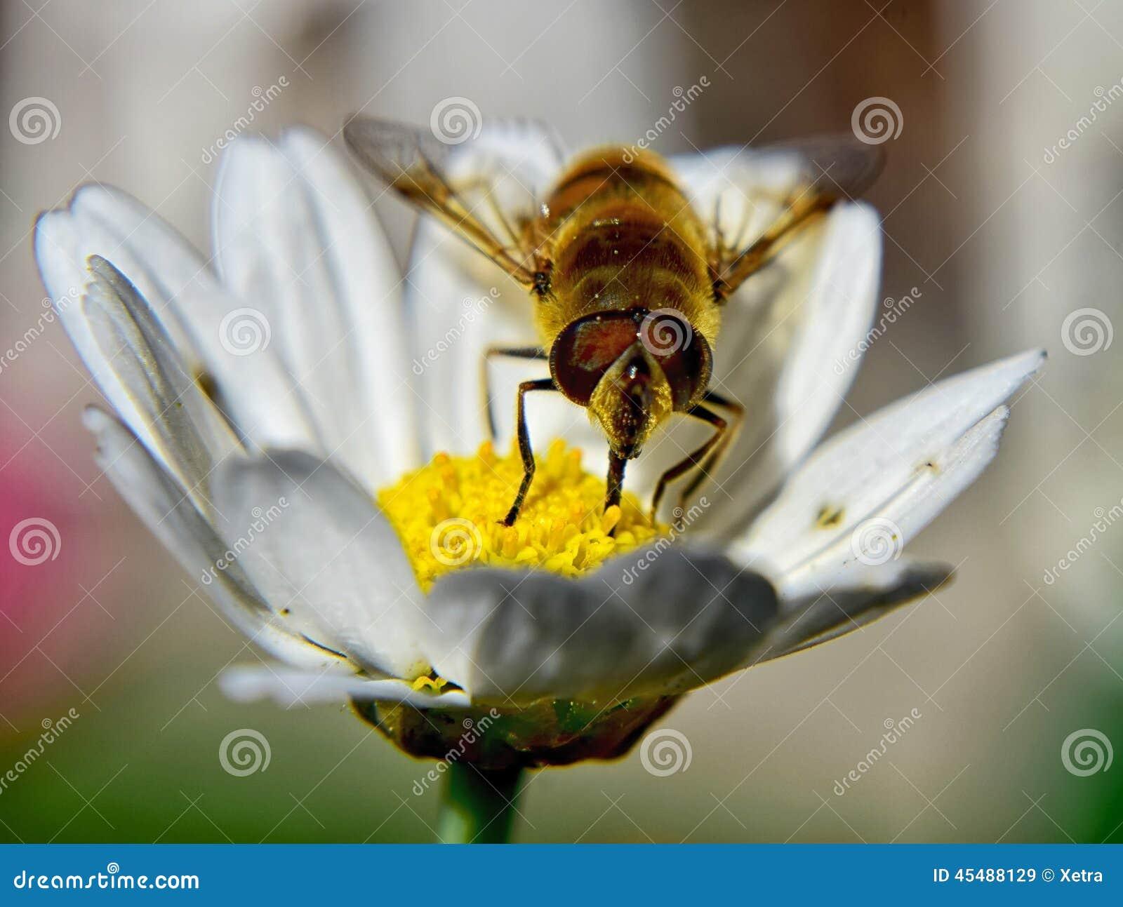 在春黄菊的蜂