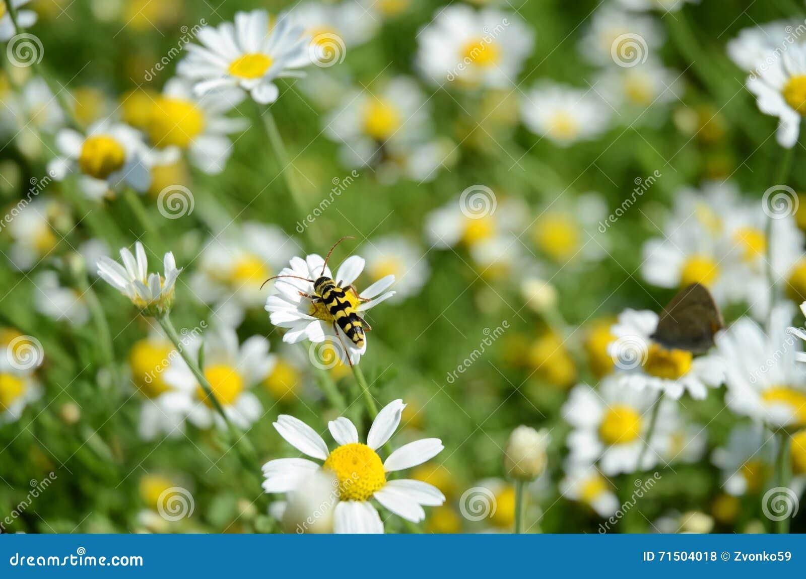 在春黄菊花的黄蜂