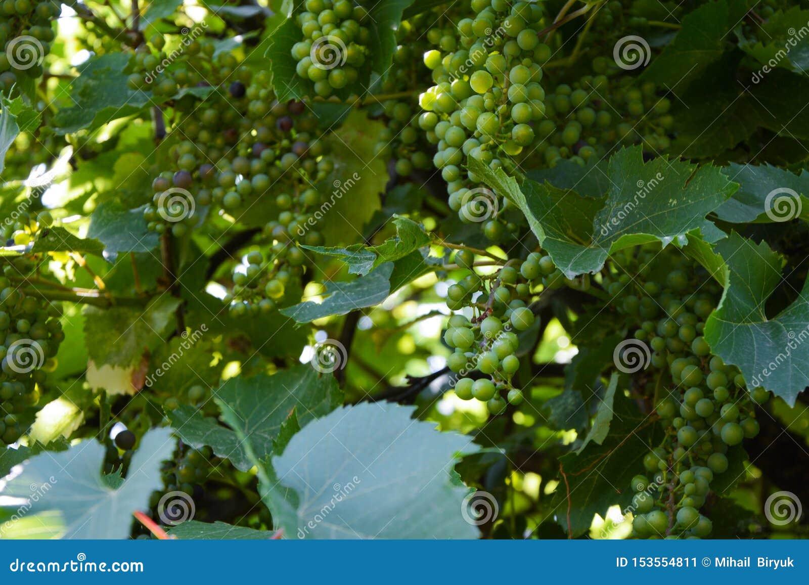 在晴朗,绿色背景的葡萄树在庭院里
