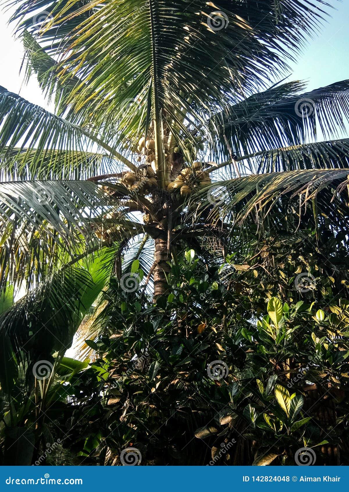 在木头的椰子与太阳亲吻