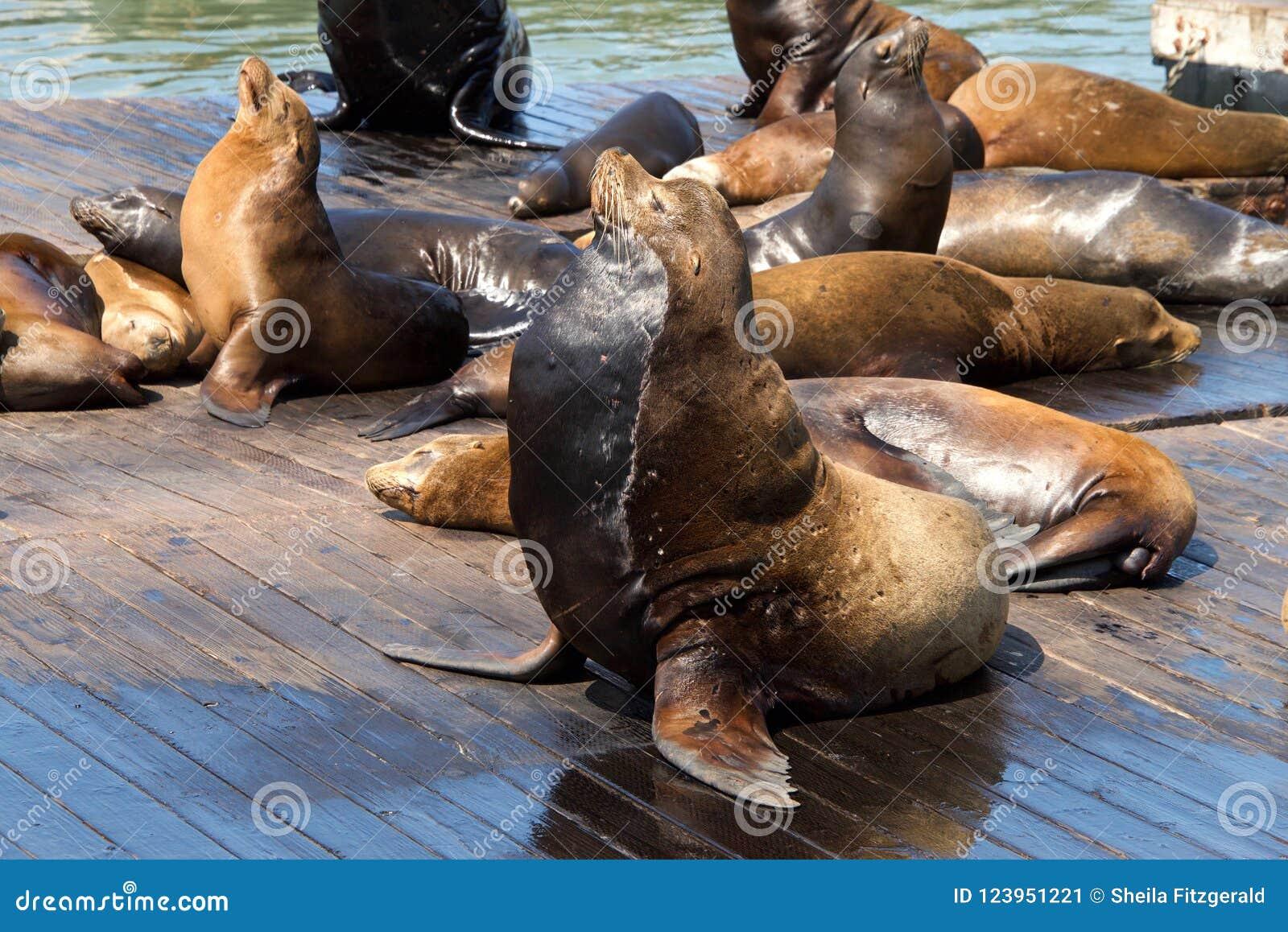 在木平台拖拉的海狮