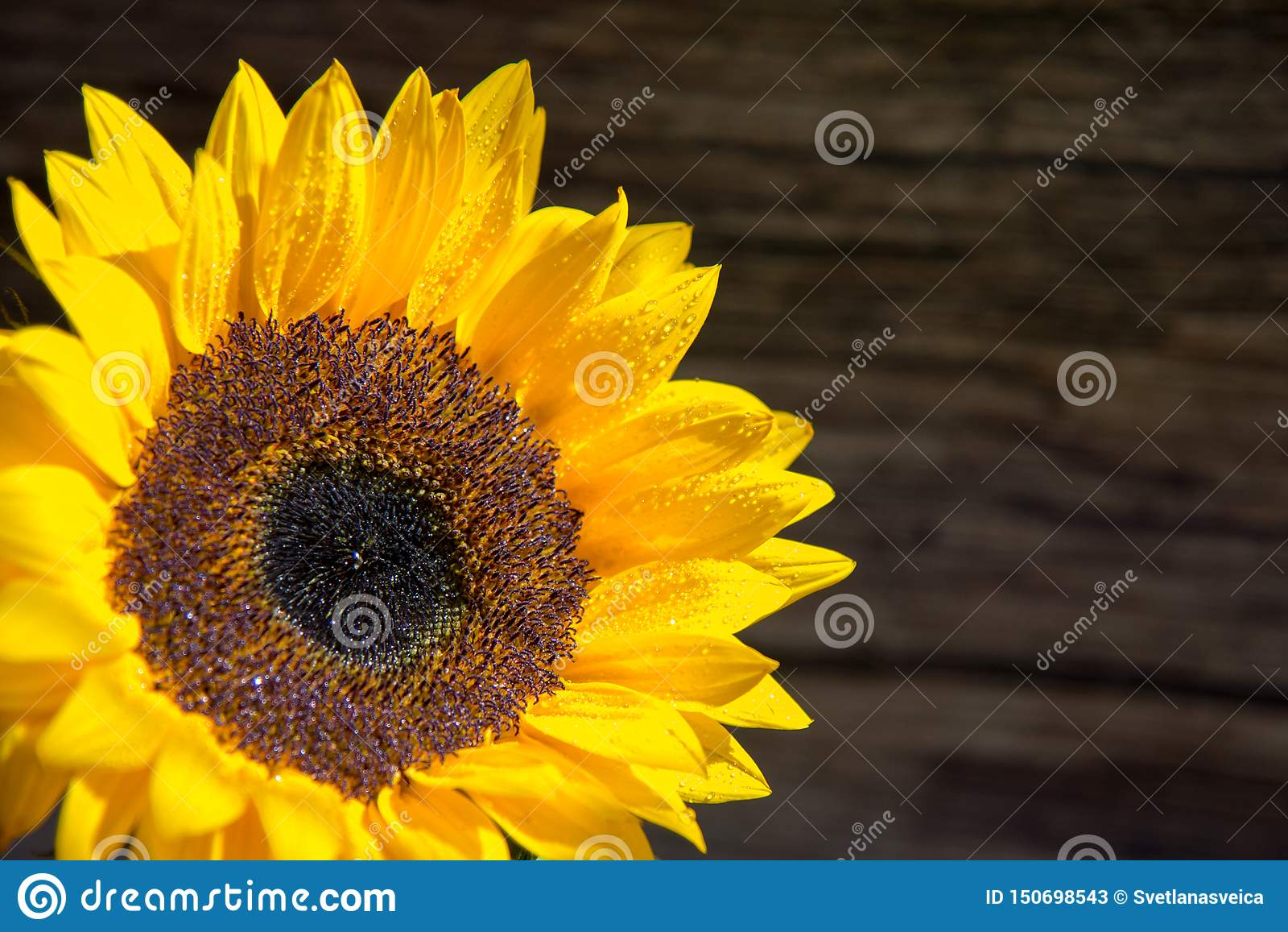 在木板丝毫拷贝空间的唯一新鲜的向日葵