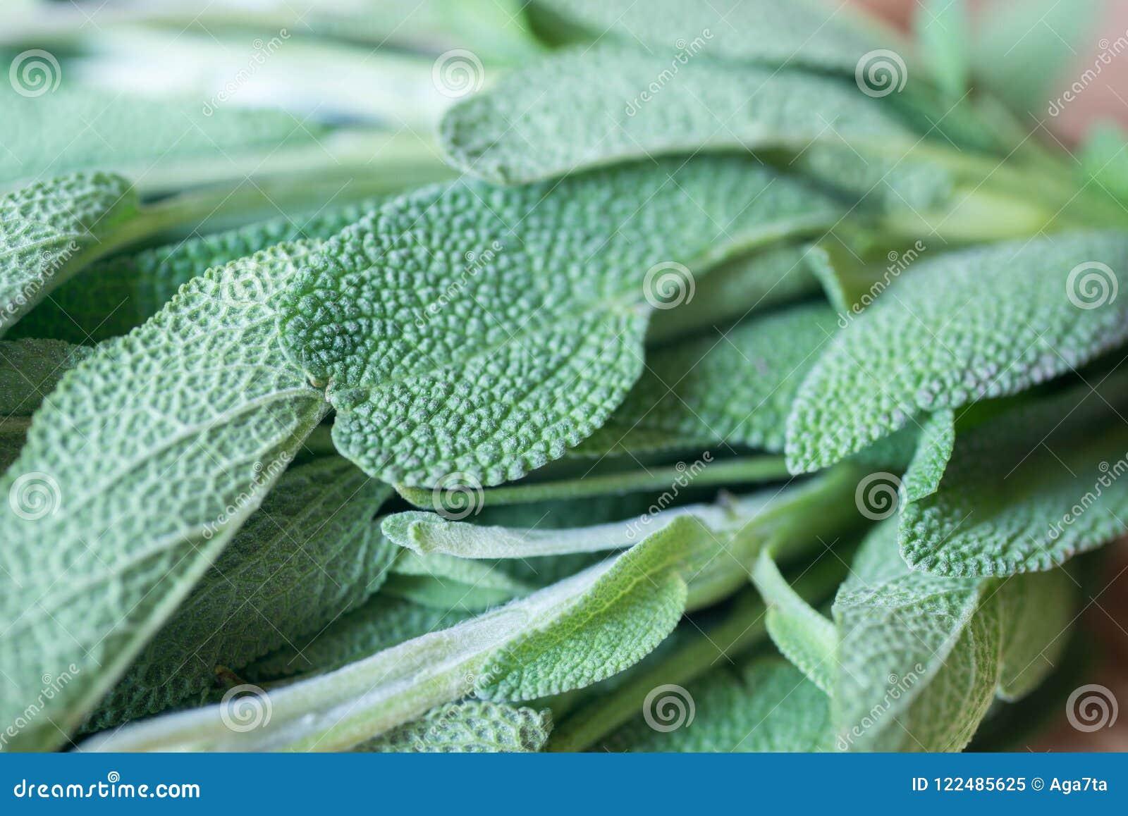 在木桌宏指令的新鲜的salvia叶子