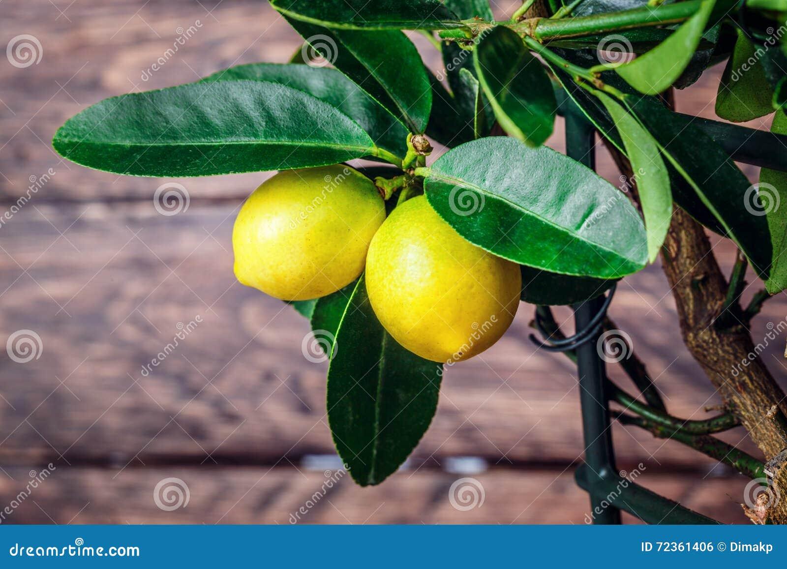 在木的柠檬树