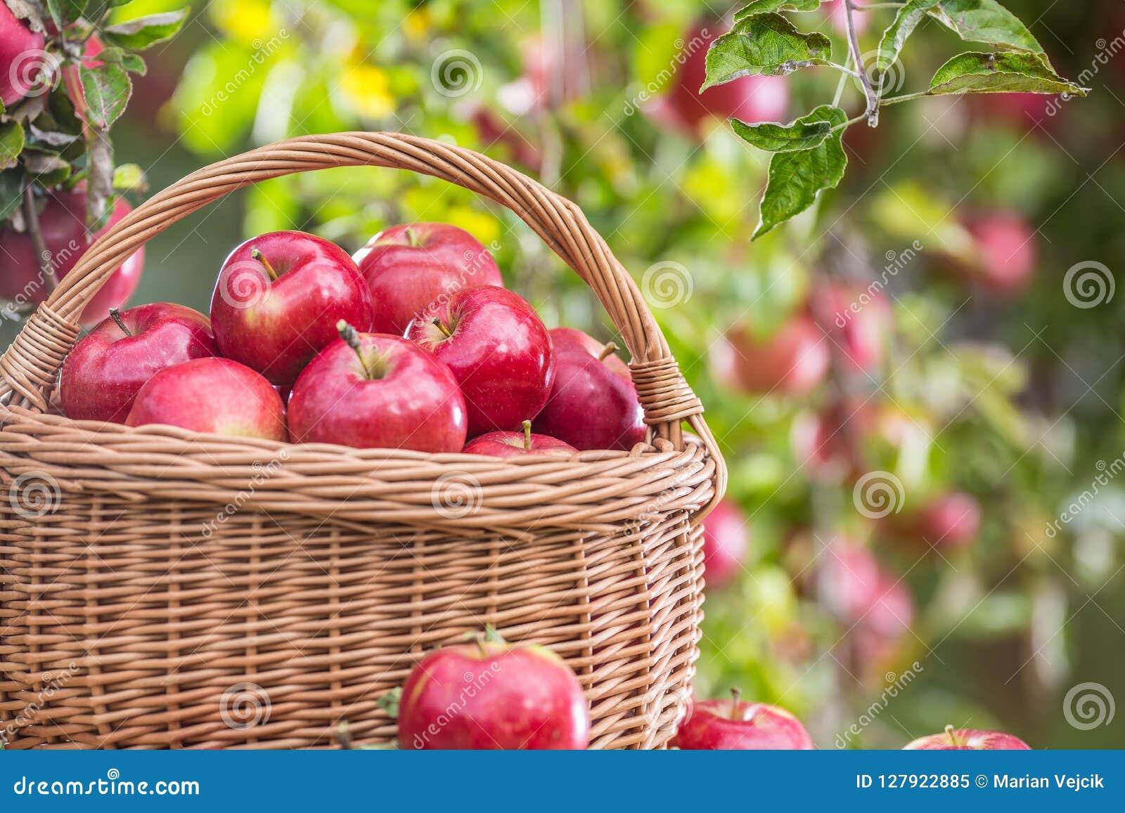 在木篮子的新鲜的成熟红色苹果在庭院桌上