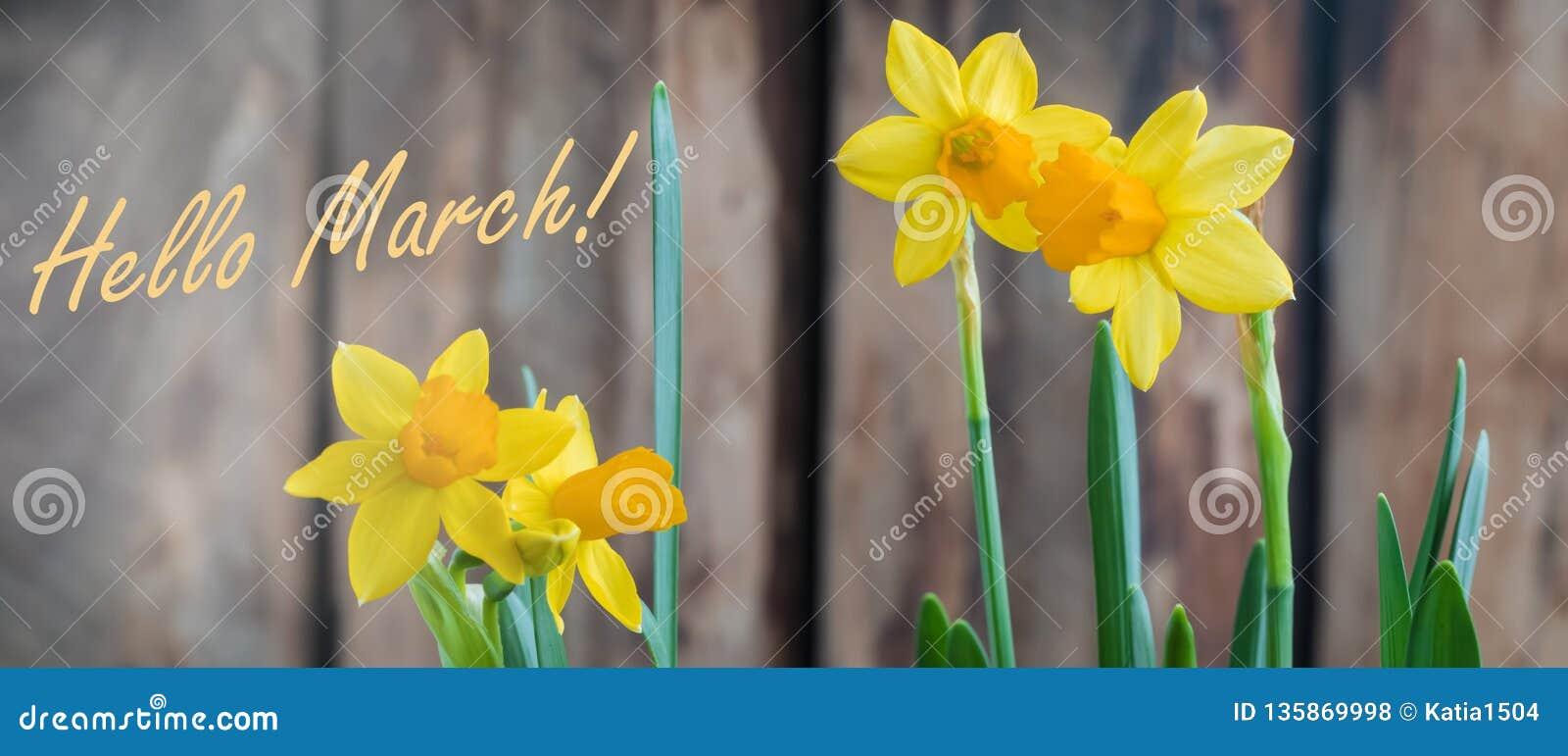 在木背景的春天黄色水仙od黄水仙,你好3月横幅