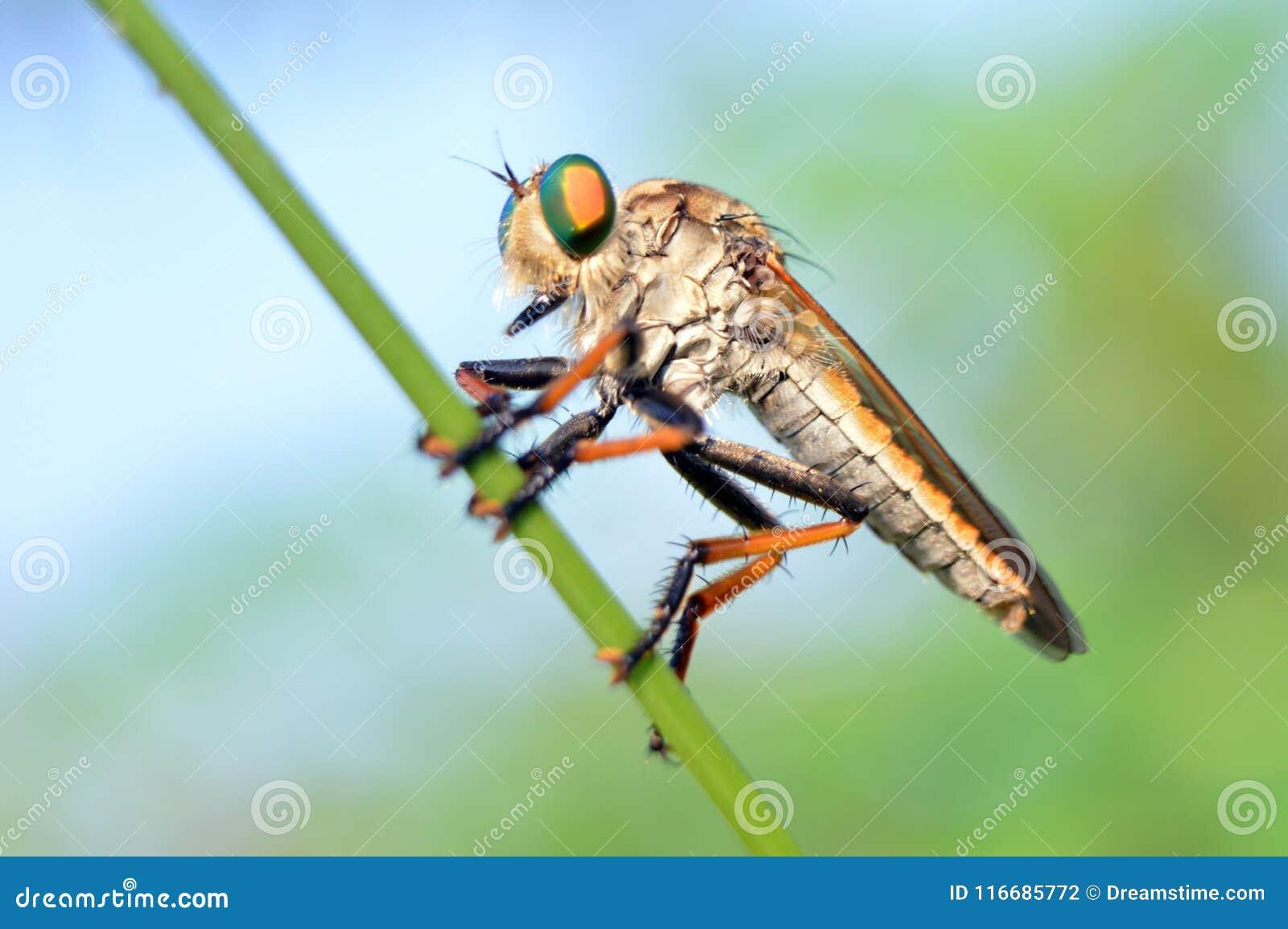 在杂草词根的食虫虻