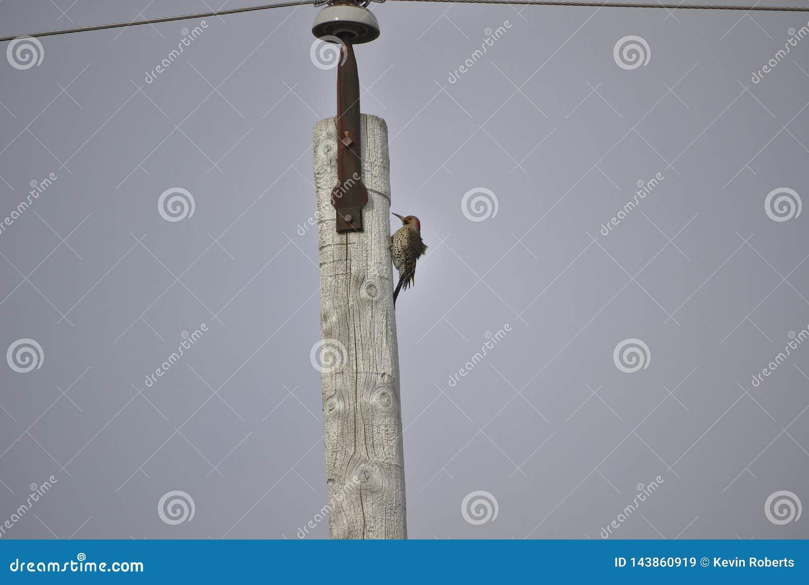 在杆的啄木鸟