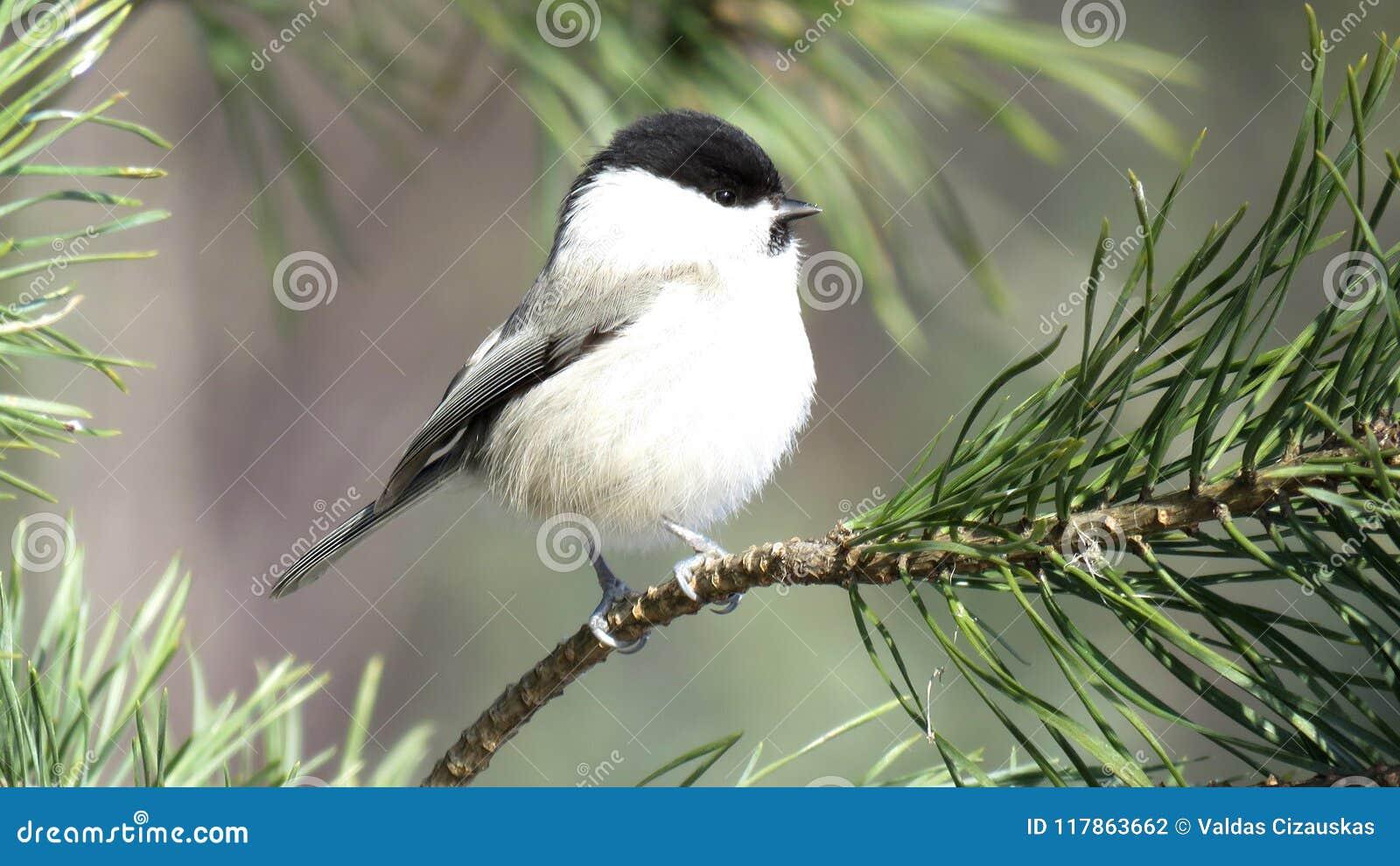 在杉木分支栖息的杨柳山雀