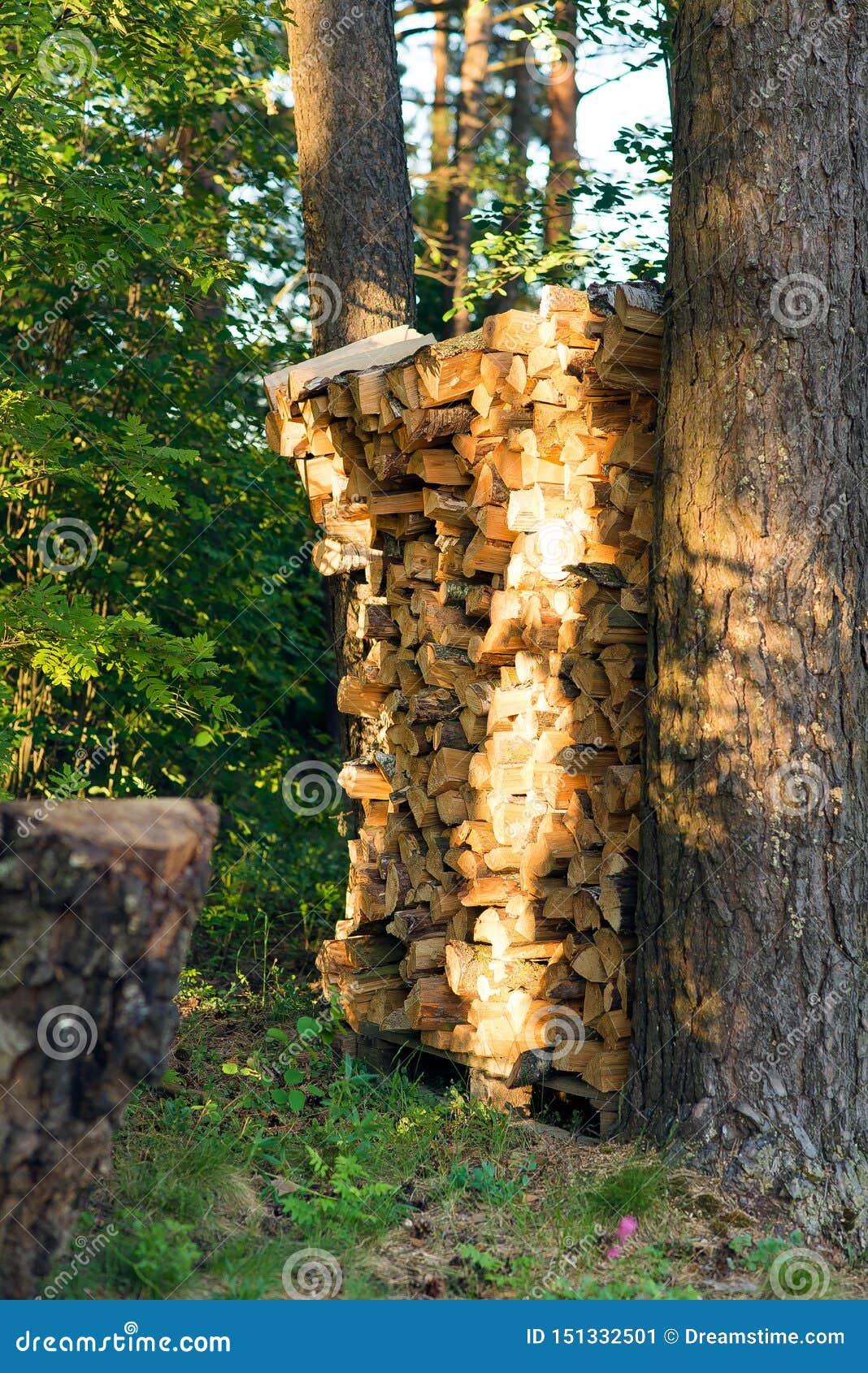 在杉木绿色森林里整洁地堆积的桦树木柴