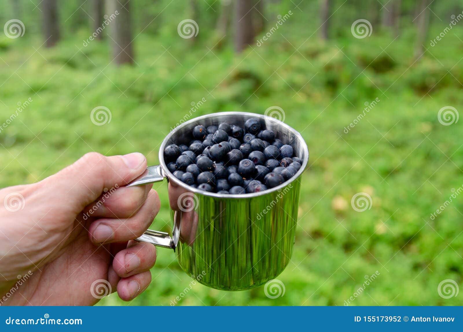 在杯子的蓝莓在杯子的森林新鲜的蓝莓在森林A杯子的人手上蓝莓