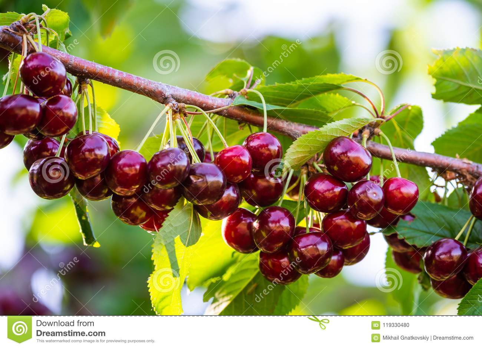 在果树的分支的樱桃在晴朗的庭院里 束在分支的新鲜的樱桃在夏季