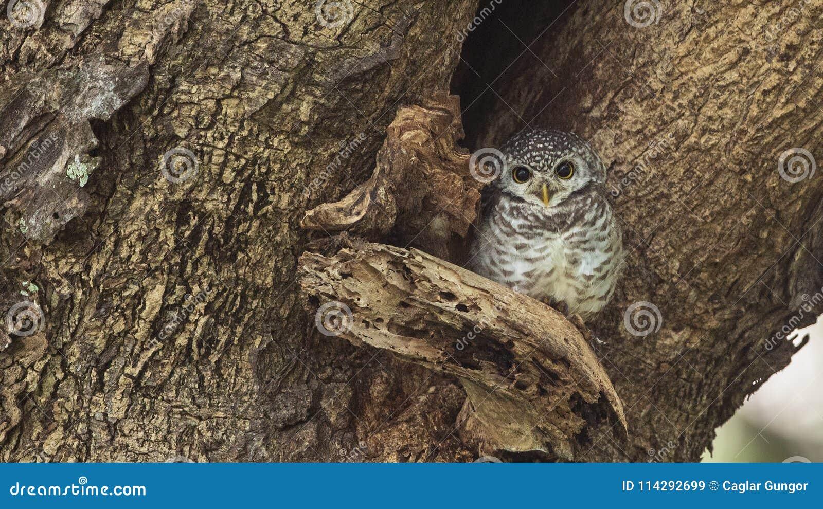 在树凹陷的被察觉的猫头鹰之子