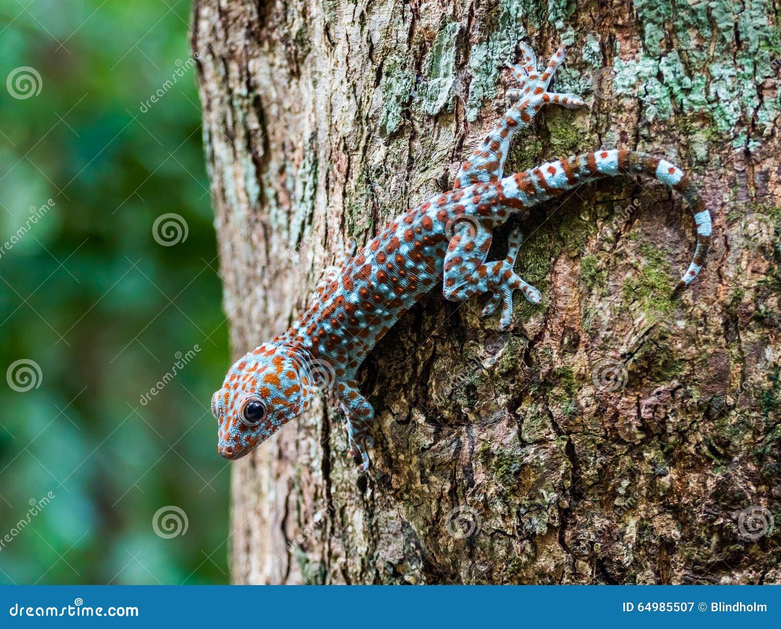 在树在狂放,凌家卫岛马来西亚的Tokay壁虎