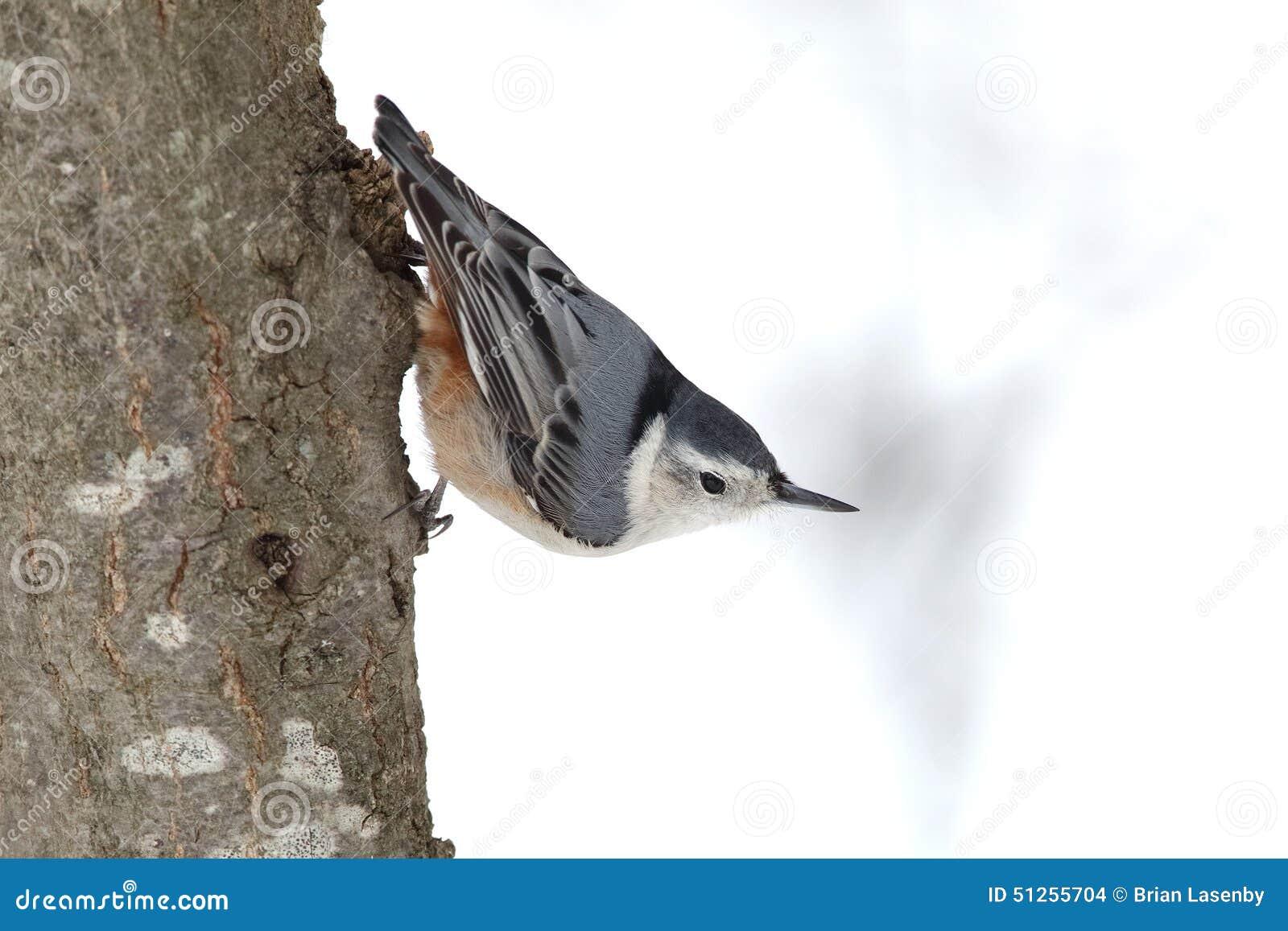 在树干栖息的白的breasted五子雀
