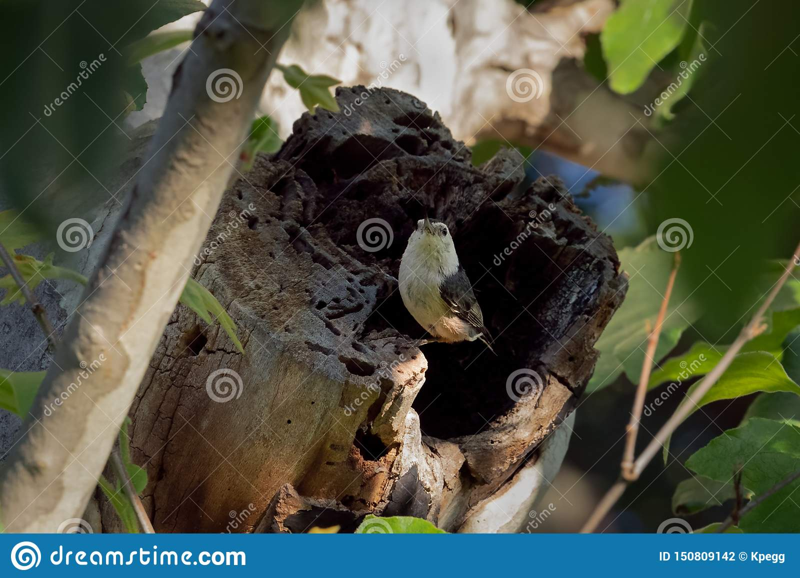 在树干栖息的白色Breasted五子雀