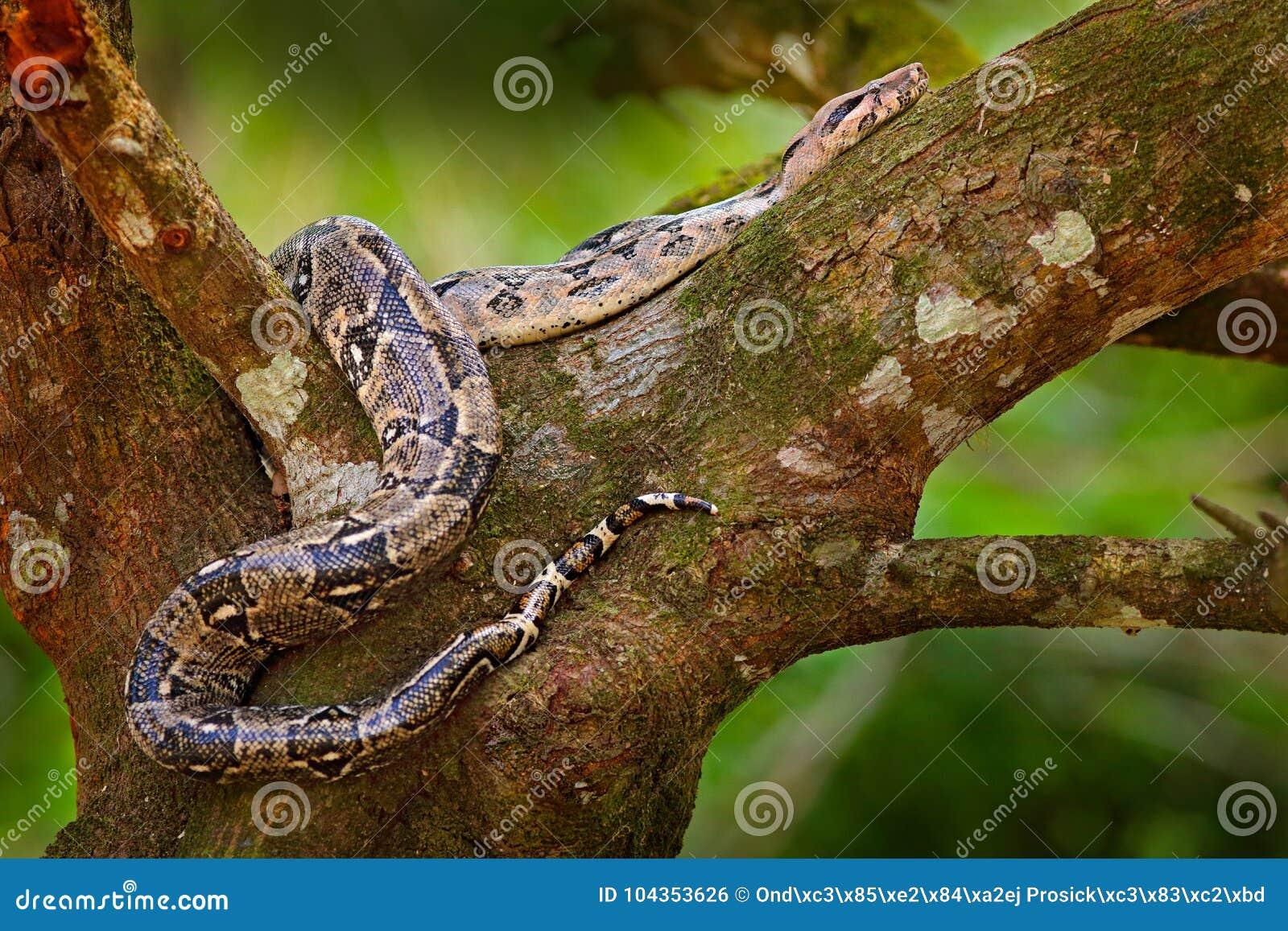 在树干的蛇 在狂放的自然的大蟒蛇蛇,伯利兹 从中美洲的野生生物场面 大蟒蛇, f