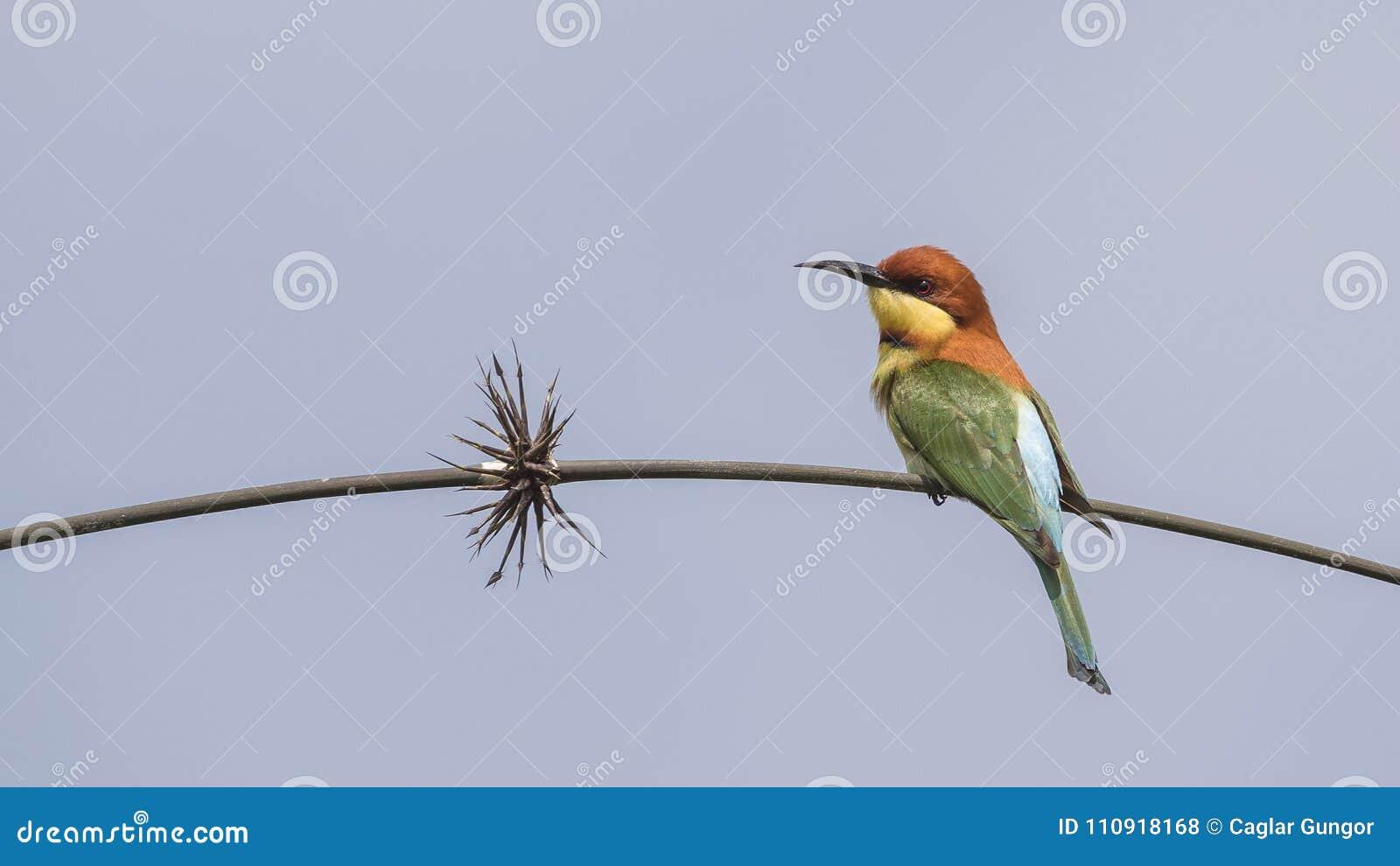 在树枝的栗子带头的食蜂鸟
