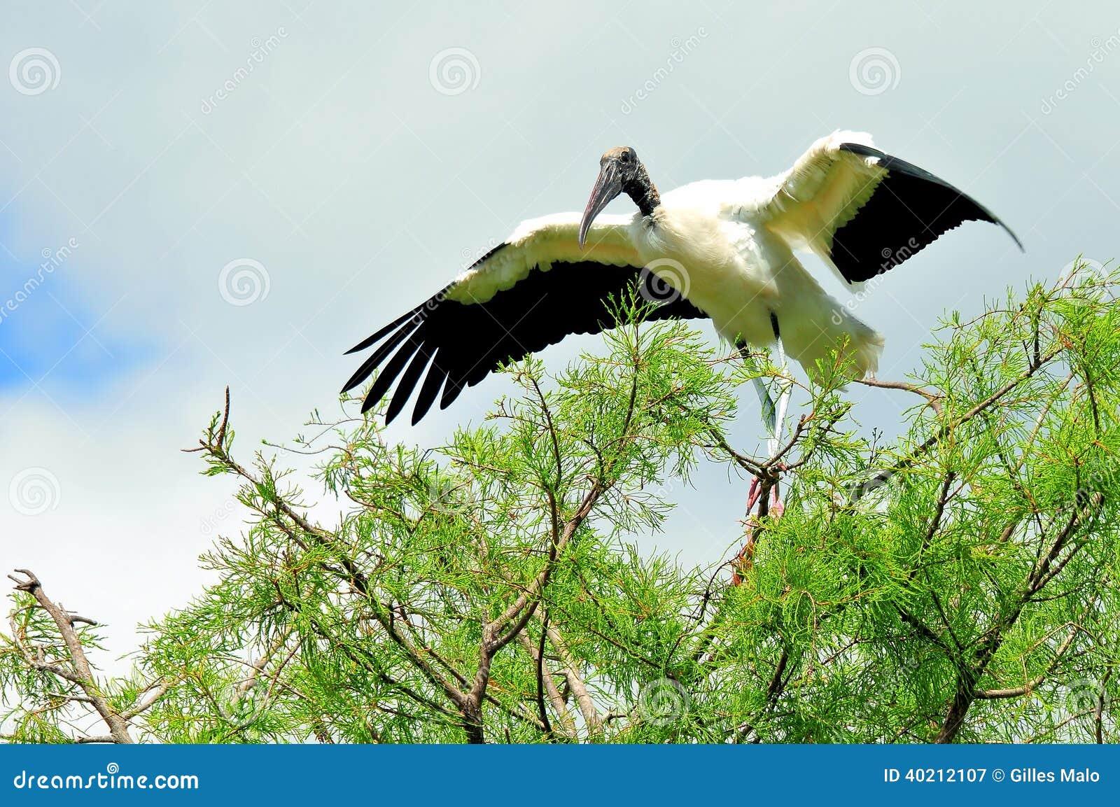在树枝的白色木鹳在沼泽地