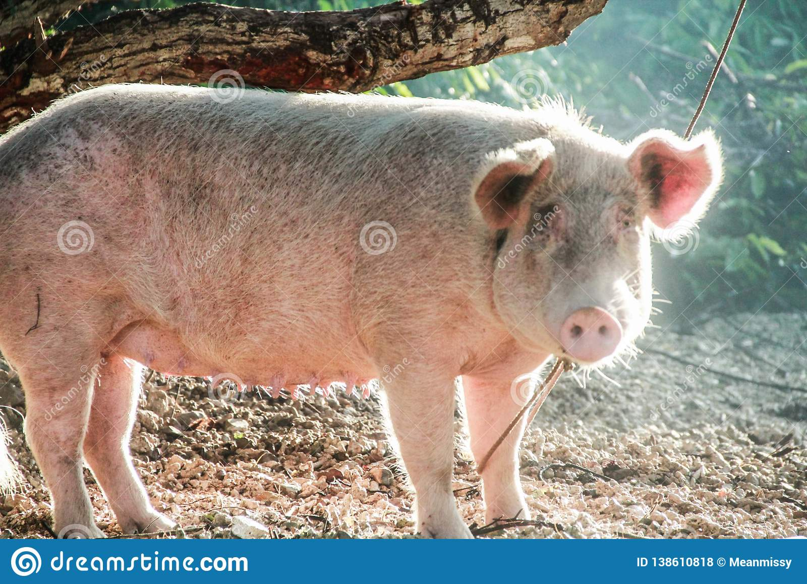 在树栓的一头被驯化的猪