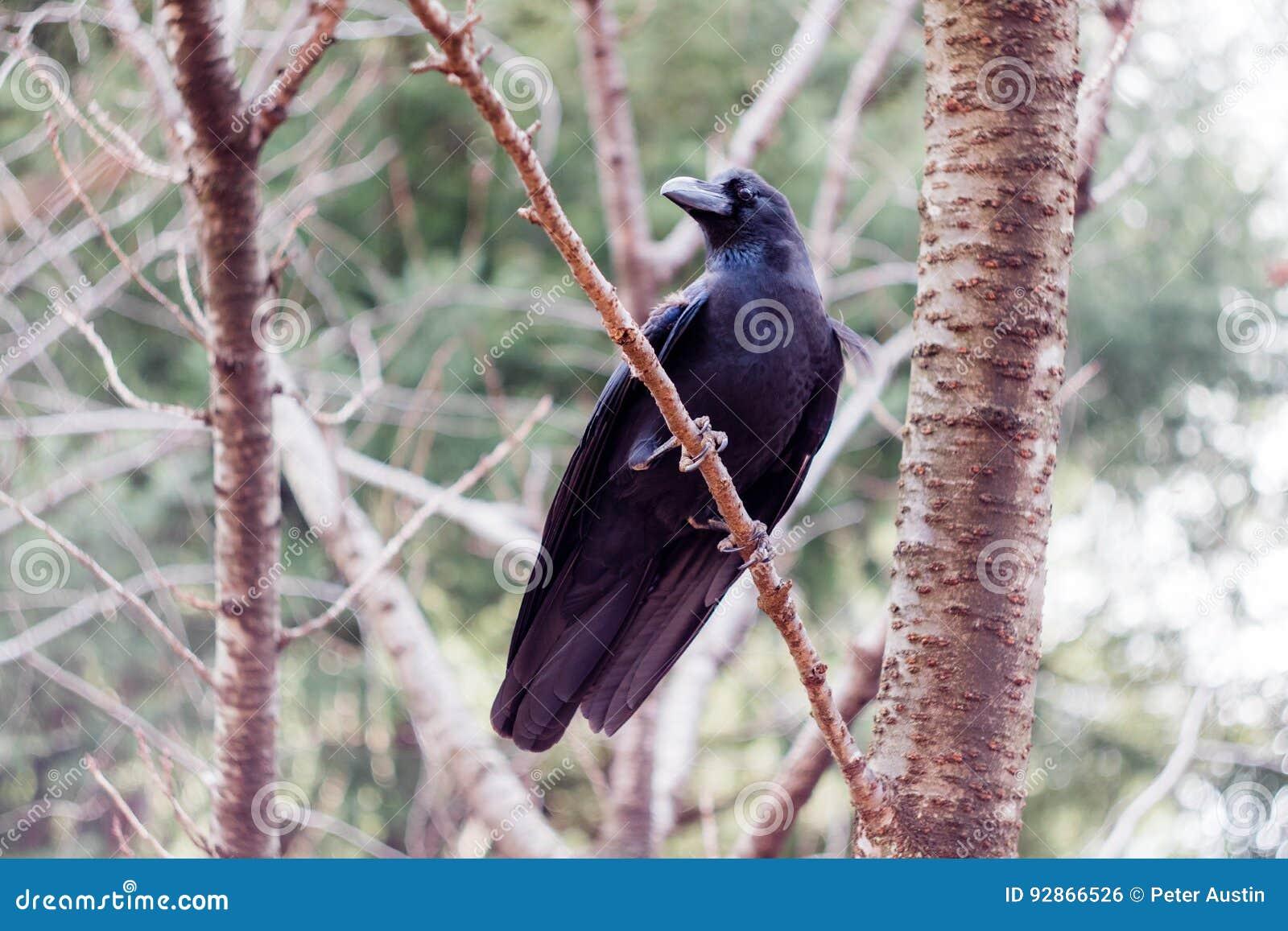 在树的一只密林乌鸦