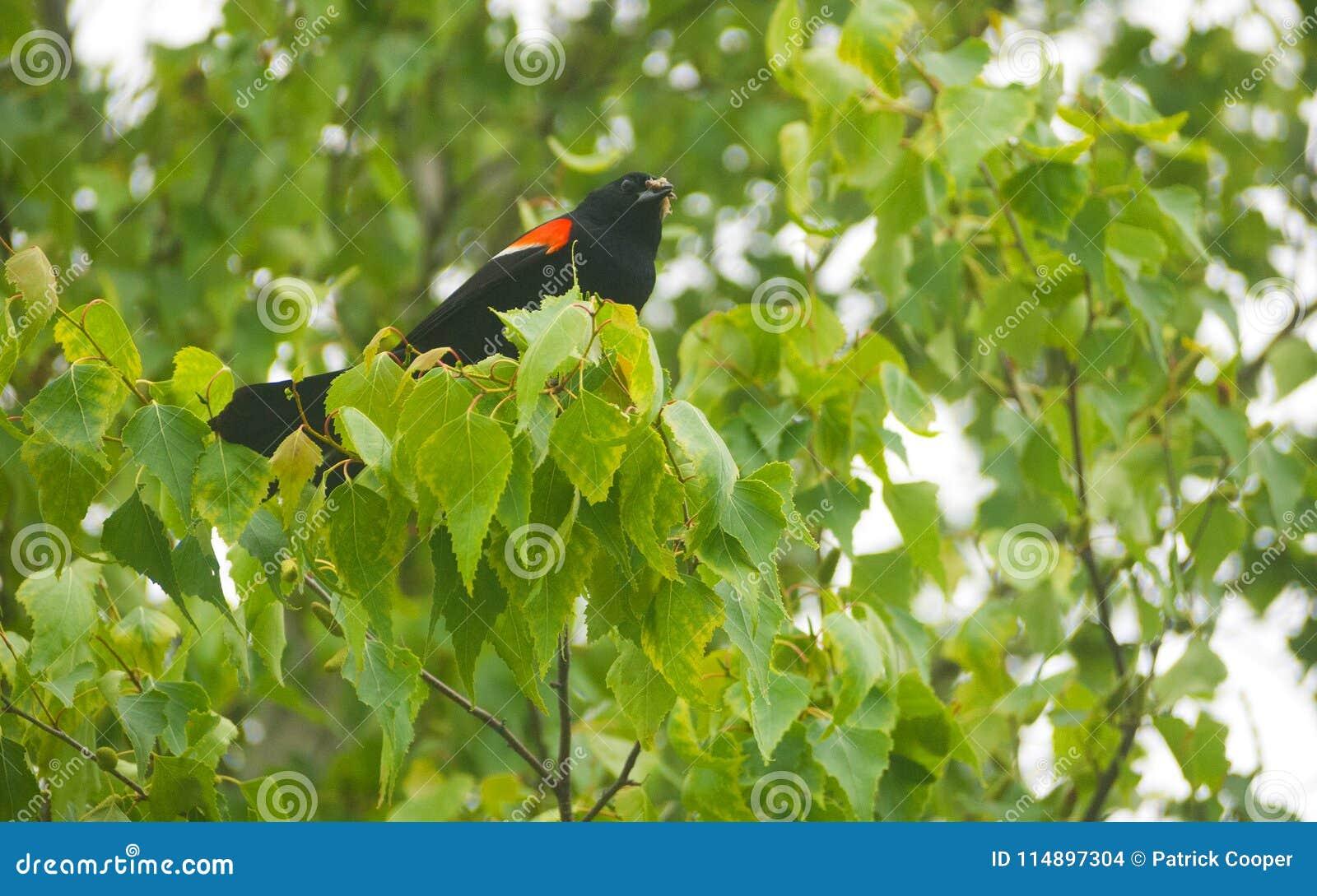 在树的公美洲红翼鸫