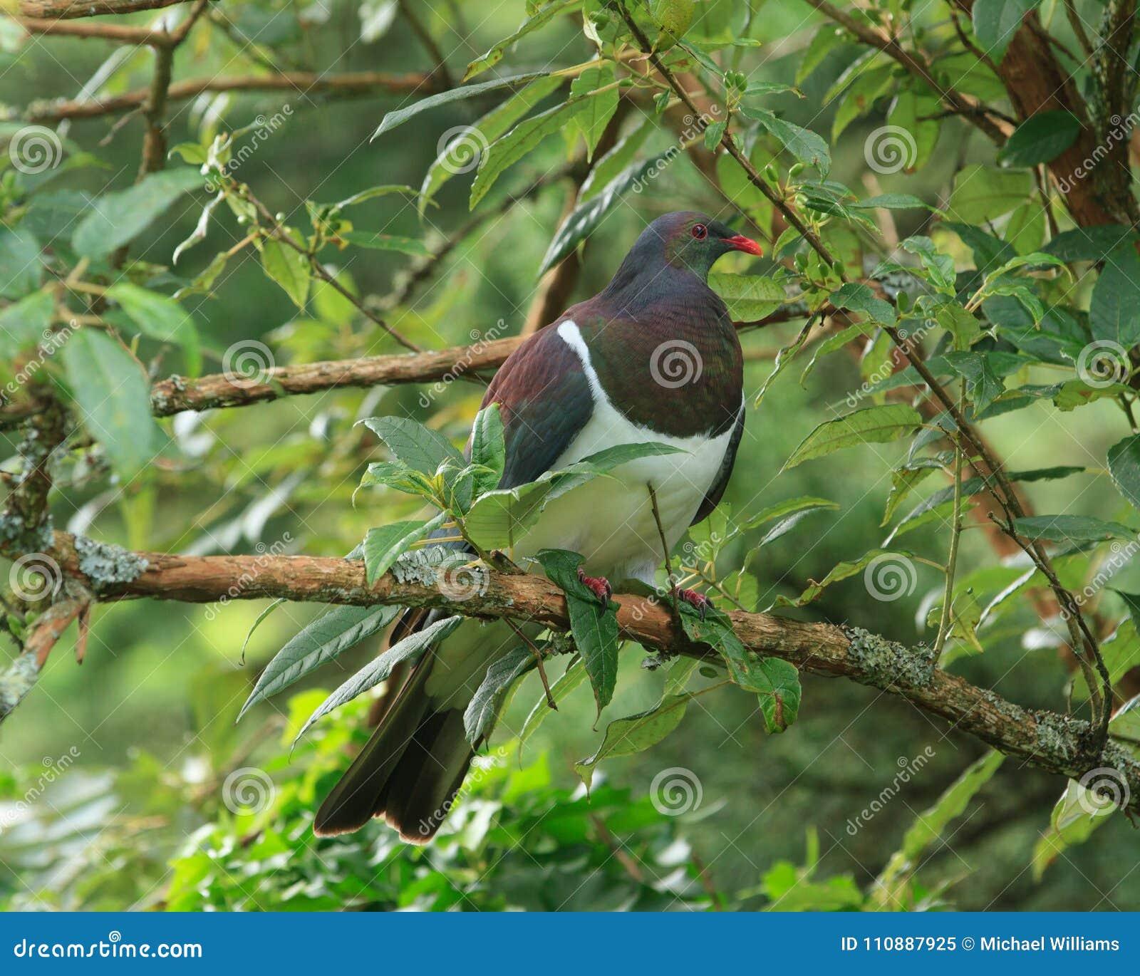 在树的新西兰鸽子