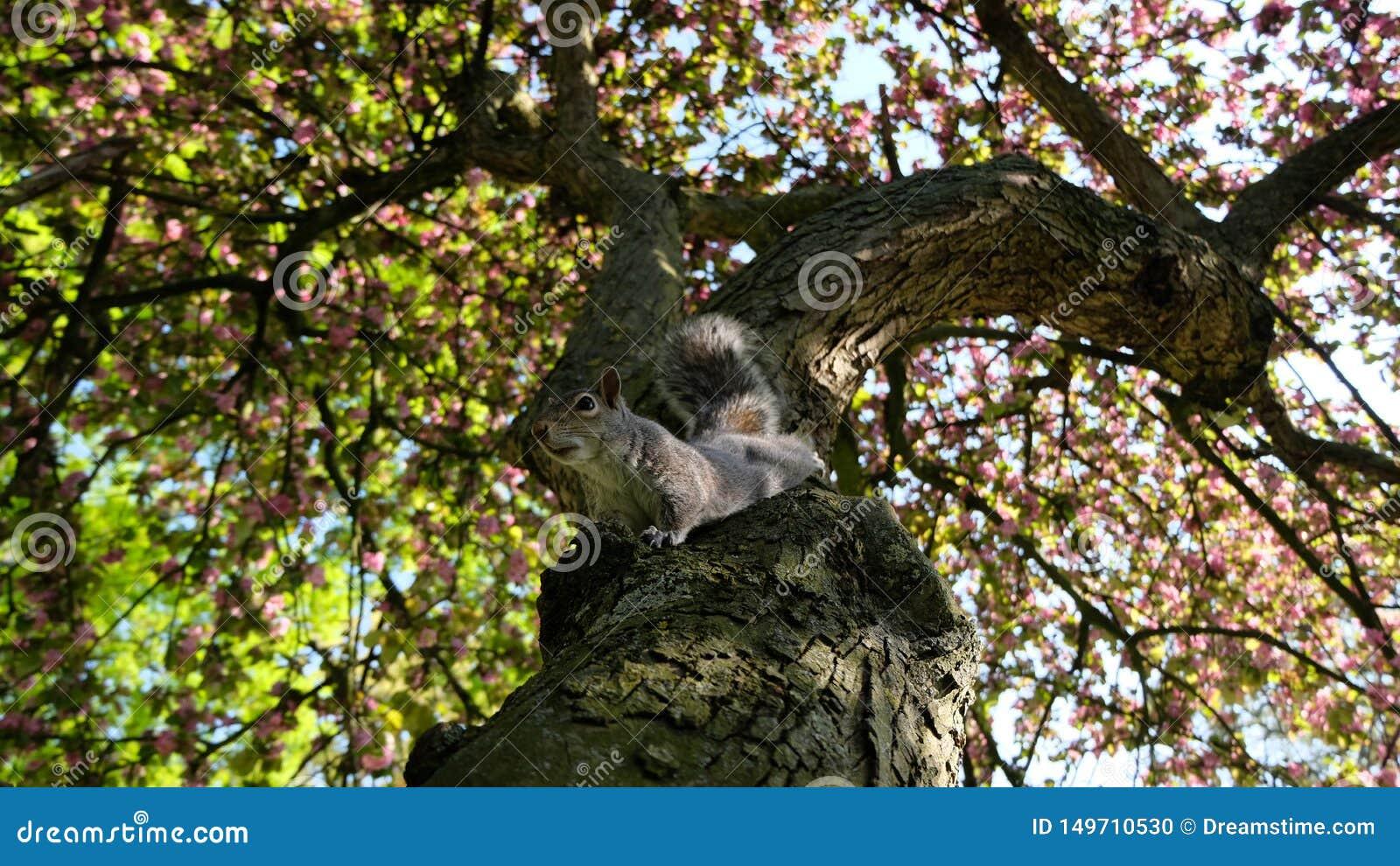 在树的灰鼠