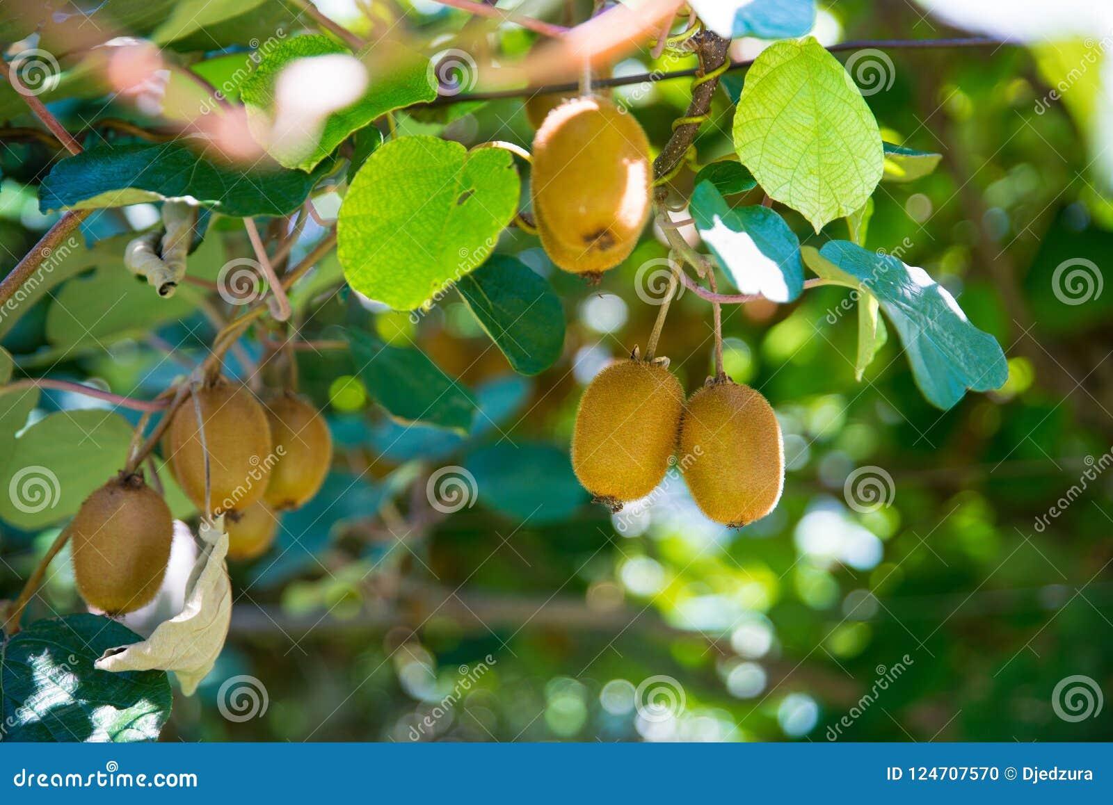 在树的猕猴桃在猕猴桃种植园在意大利