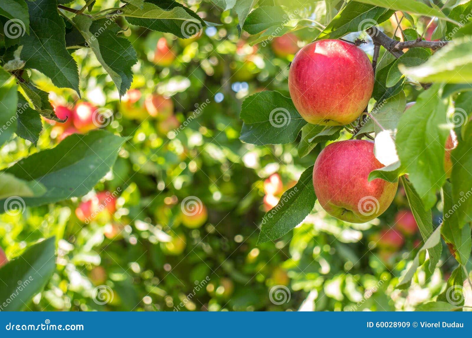 在树的生物红色苹果